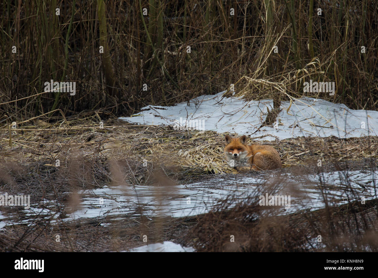 Rotfuchs, Rot-Fuchs, Fuchs, Vulpes vulpes, red fox - Stock Image