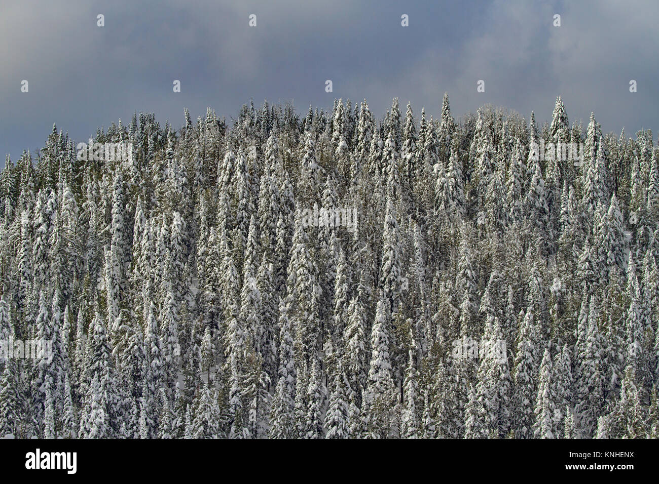 Light dusting of early snow on trees on mountain top in Yellowstone National Park in September.  Landscape of changing - Stock Image