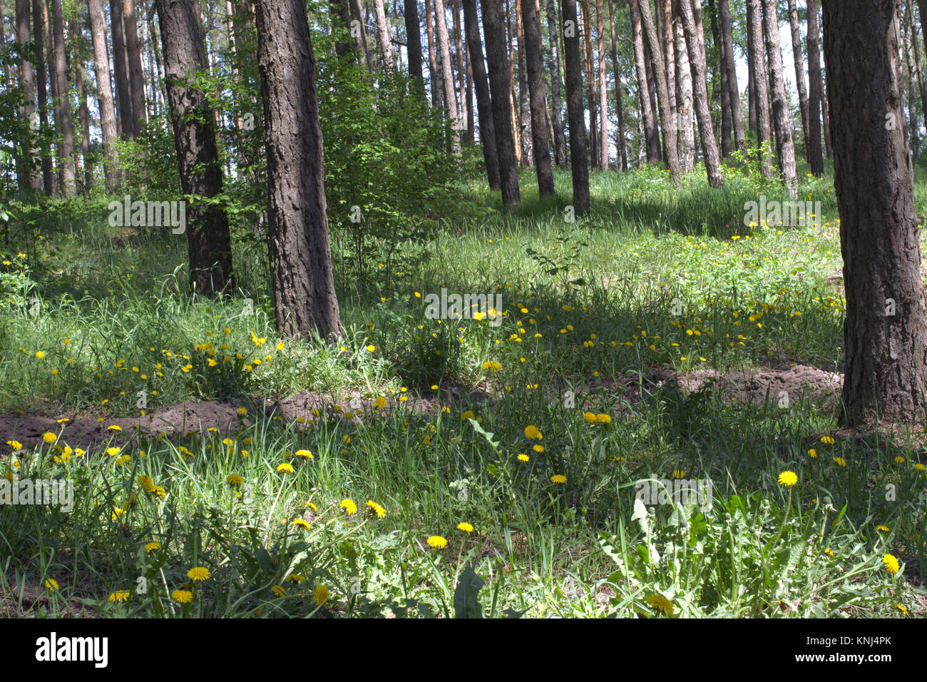 yellow flowers of young dandelions in thickets of sunlit pinery - Stock Image