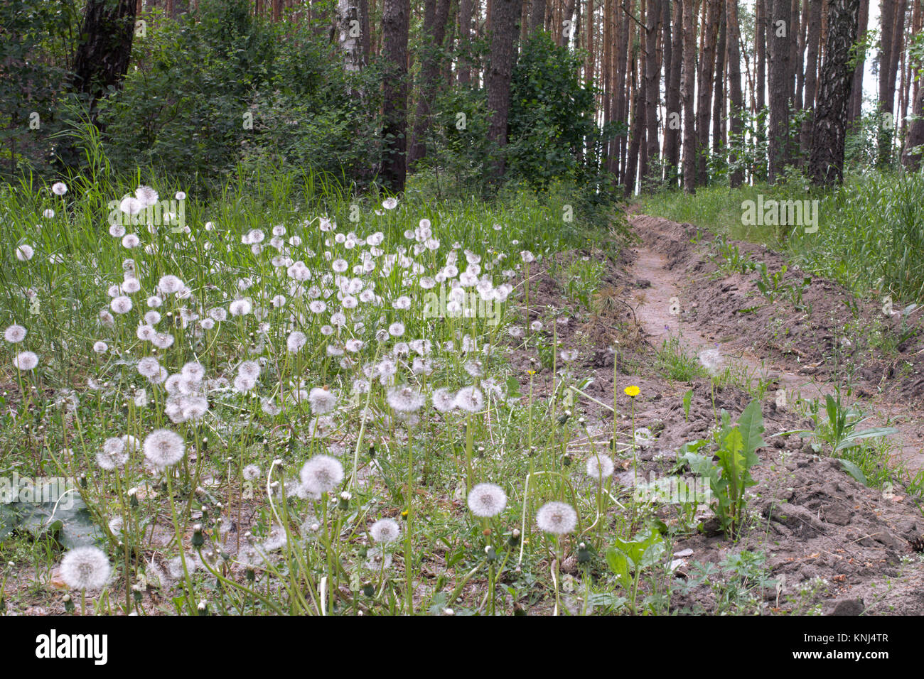 Mature white dandelions on the edge of the forest trench for preventing spread of fire - Stock Image