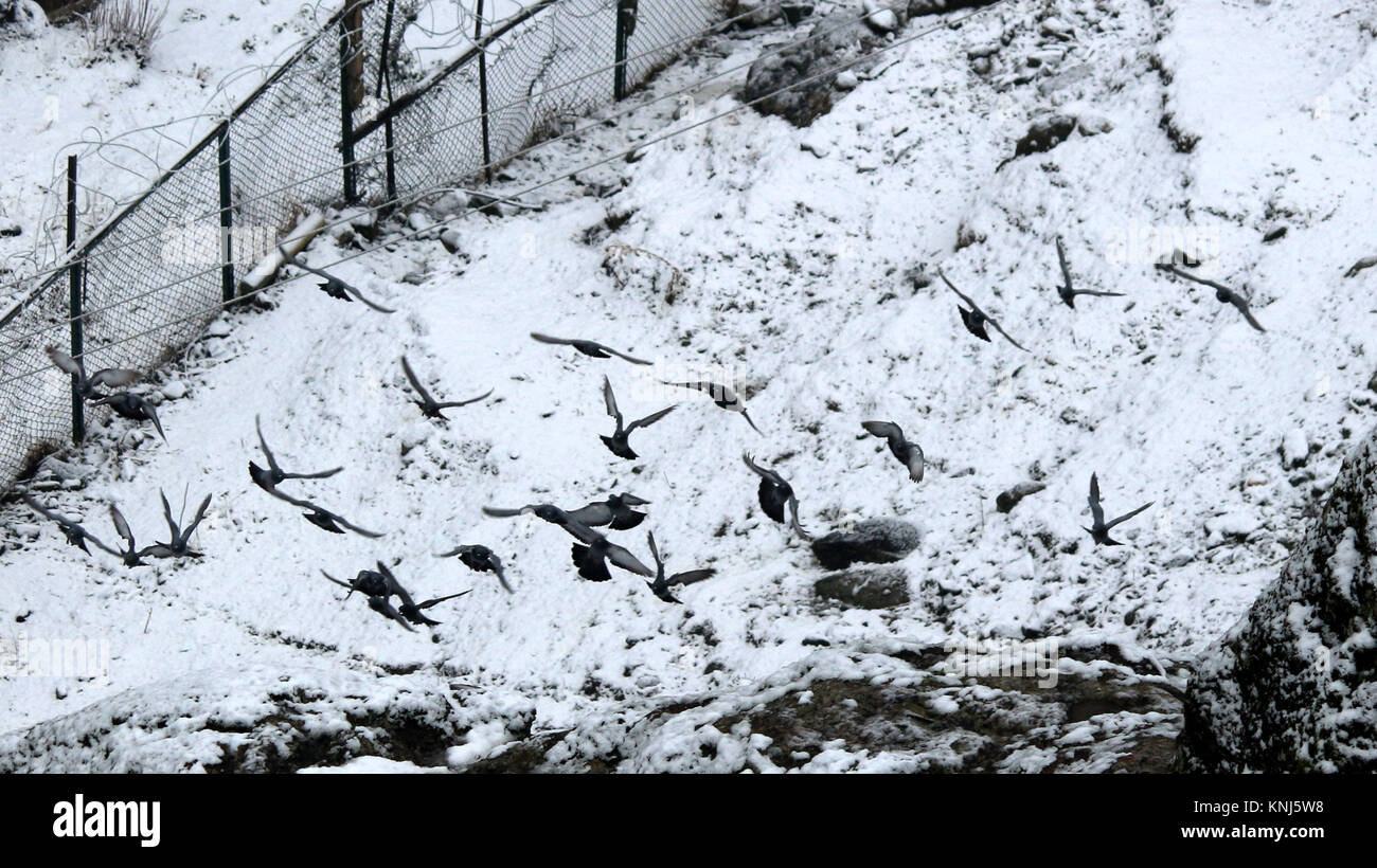 Anantnag, India  11th Dec, 2017  Flock of Birds Flying snow field at