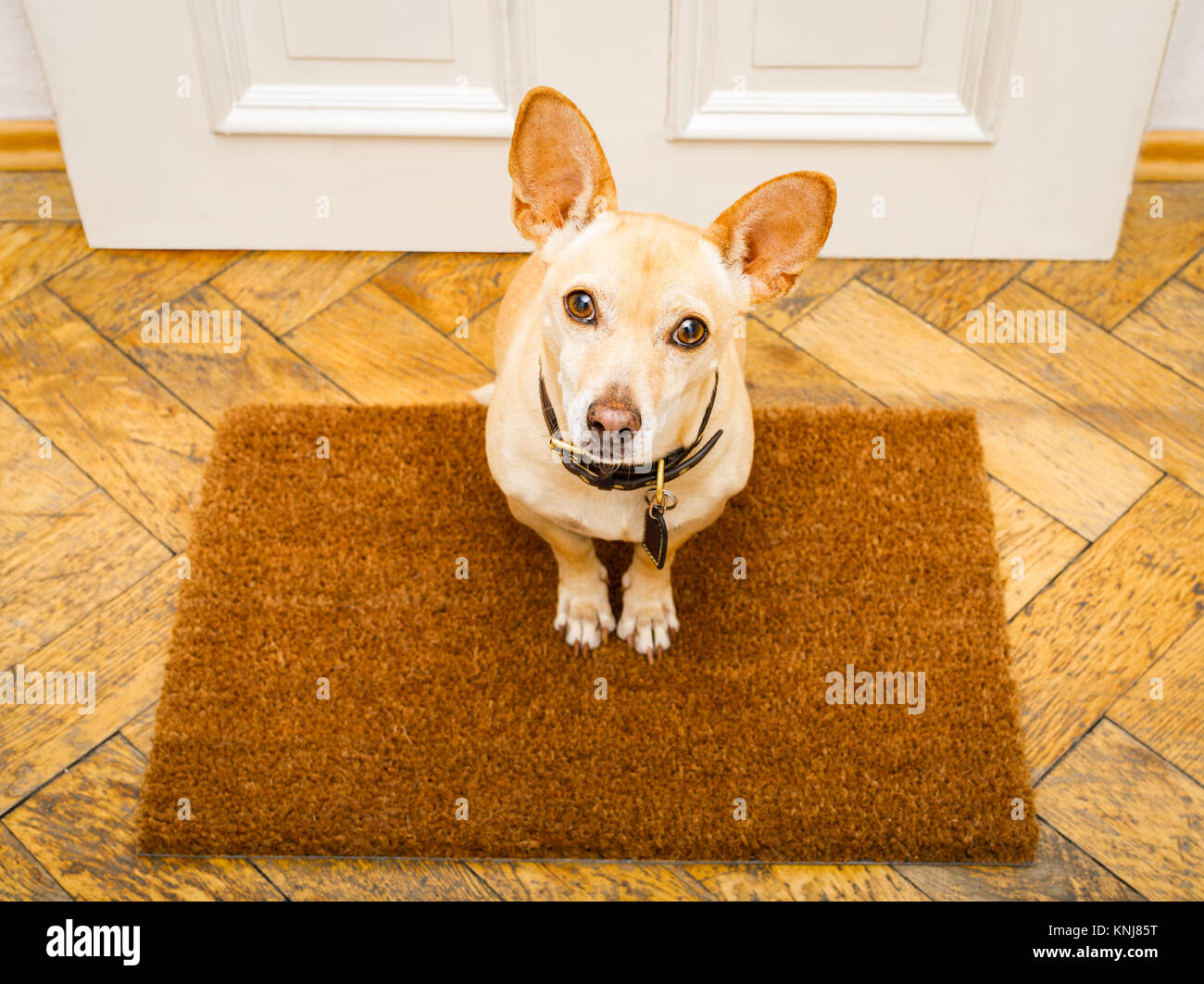 poidenco dog waiting for owner to play  and go for a walk on door mat ,behind home door entrance - Stock Image