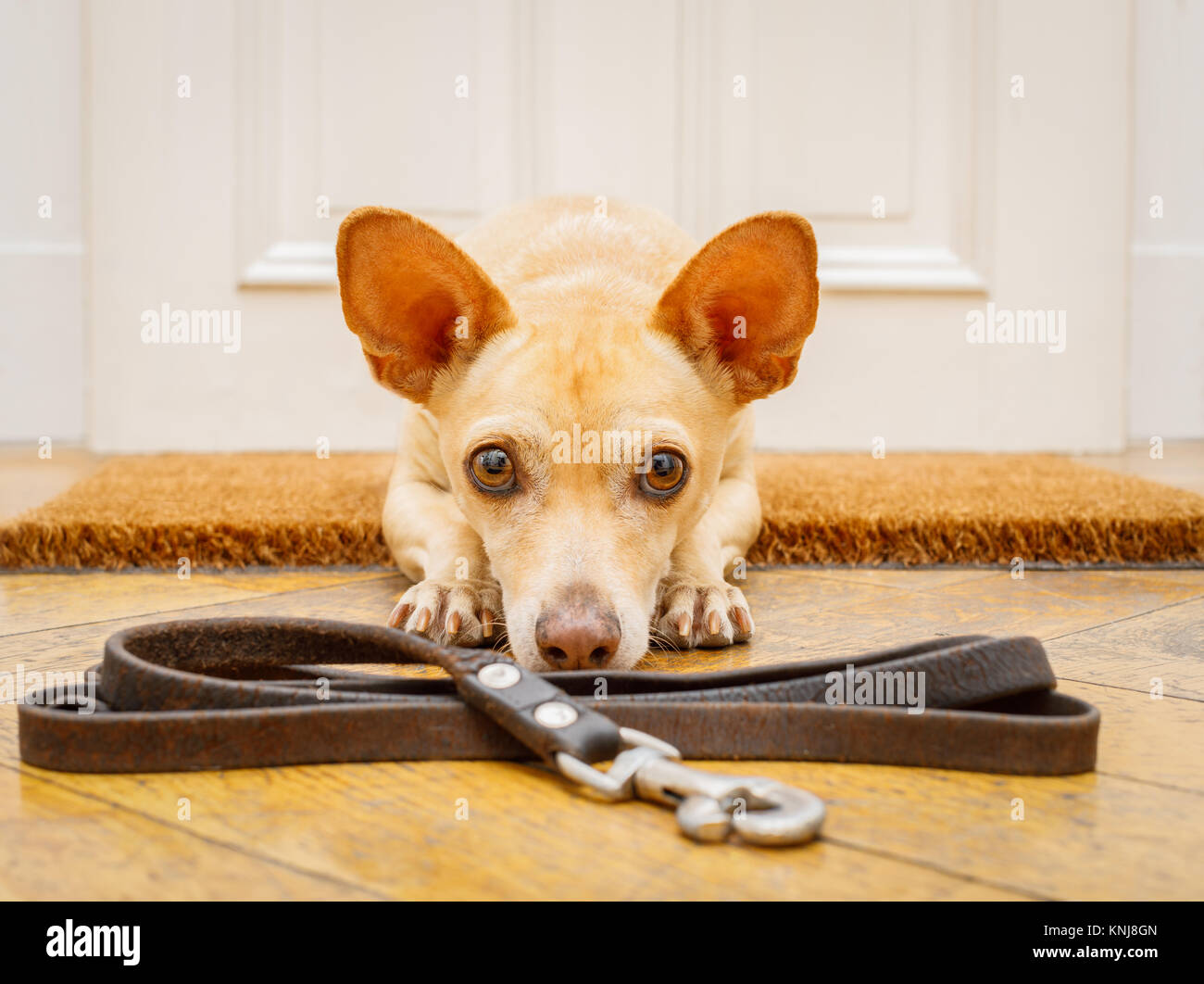 poidenco chihuahua dog waiting for owner to play  and go for a walk on doormat with leash on the floor ,behind home - Stock Image