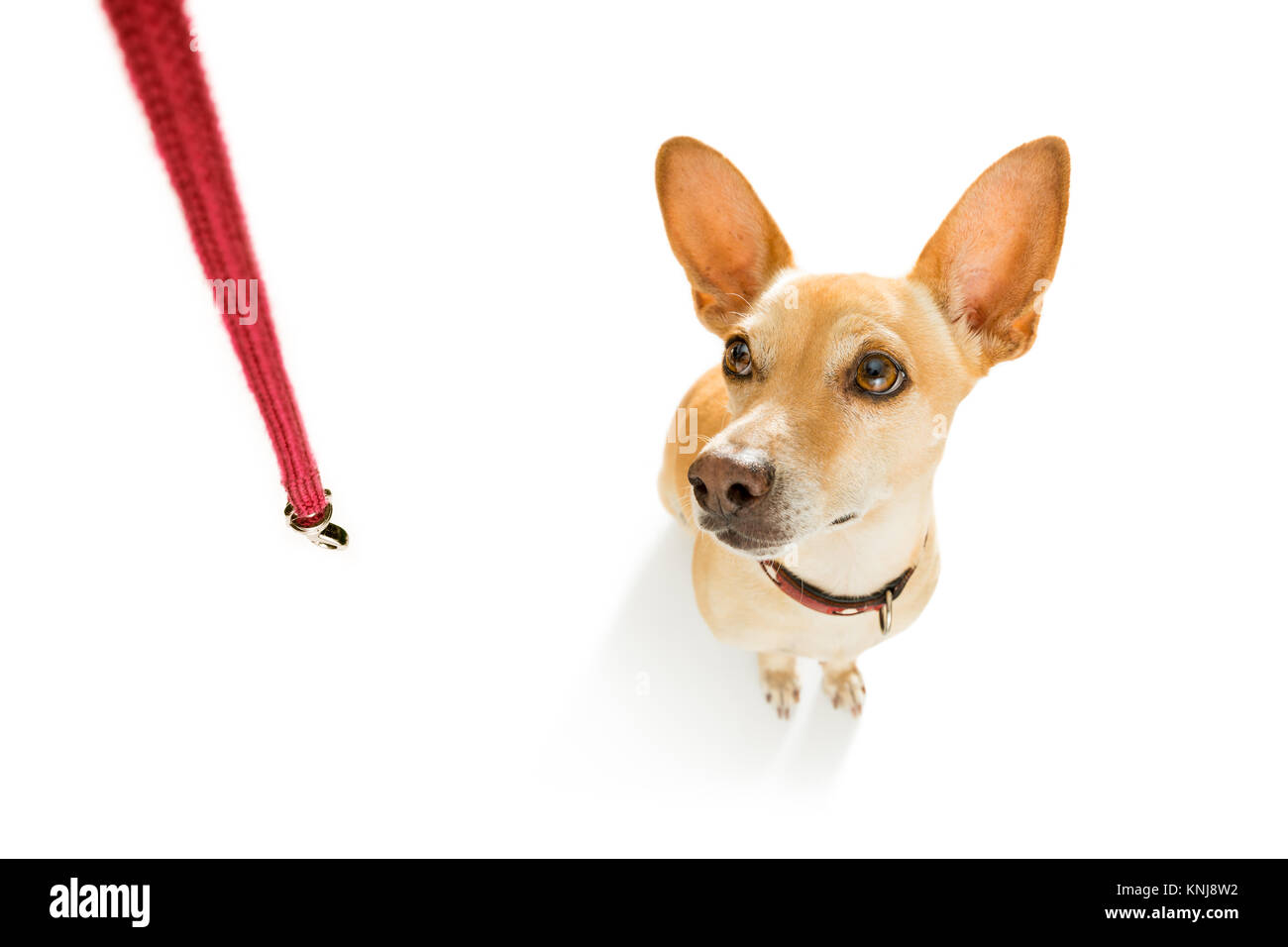 chihuahua podenco dog waiting for owner to play  and go for a walk with leash outdoors - Stock Image