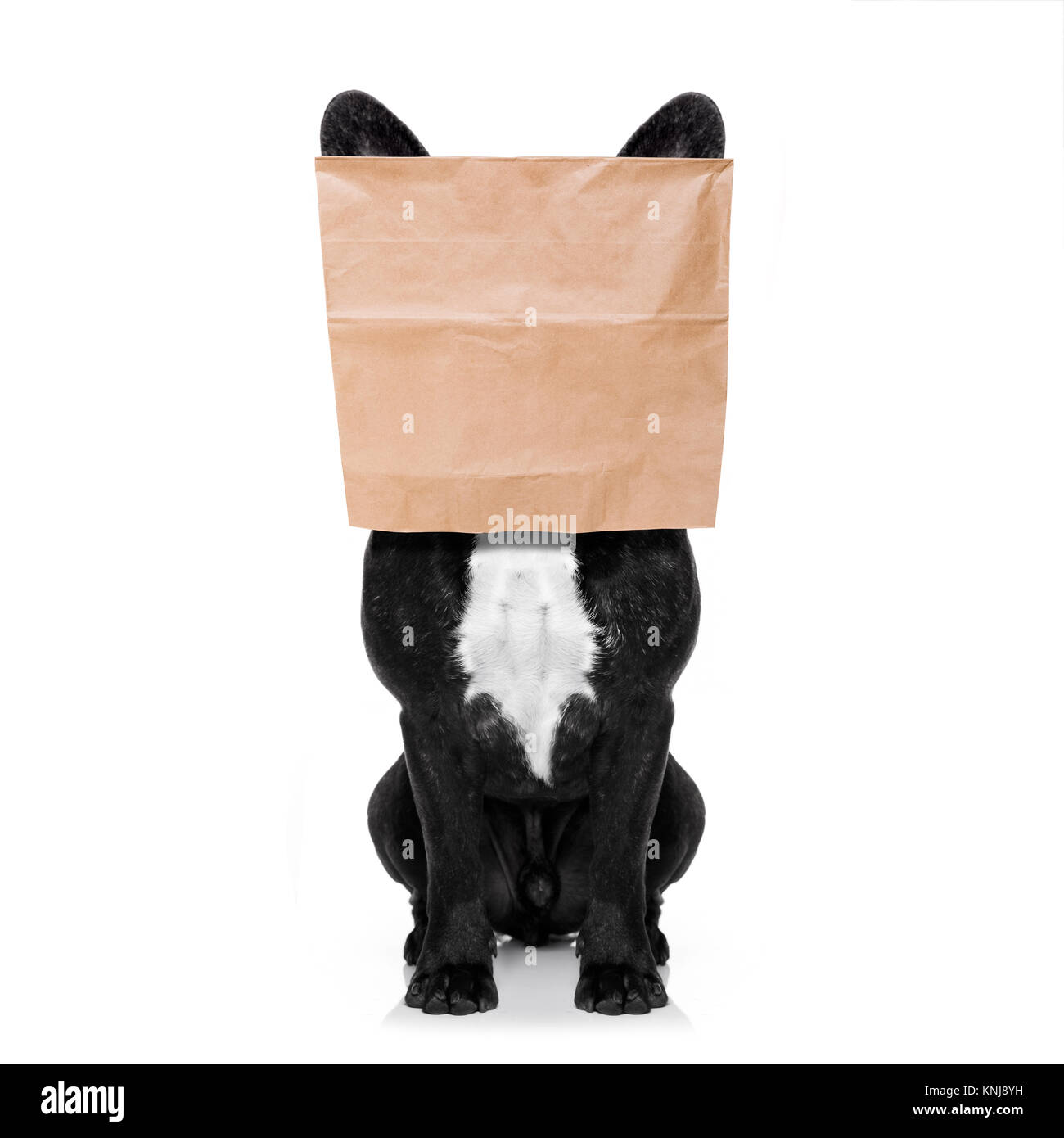 french bulldog dog  , hiding behind a paper bag on his head, isolated on white background - Stock Image