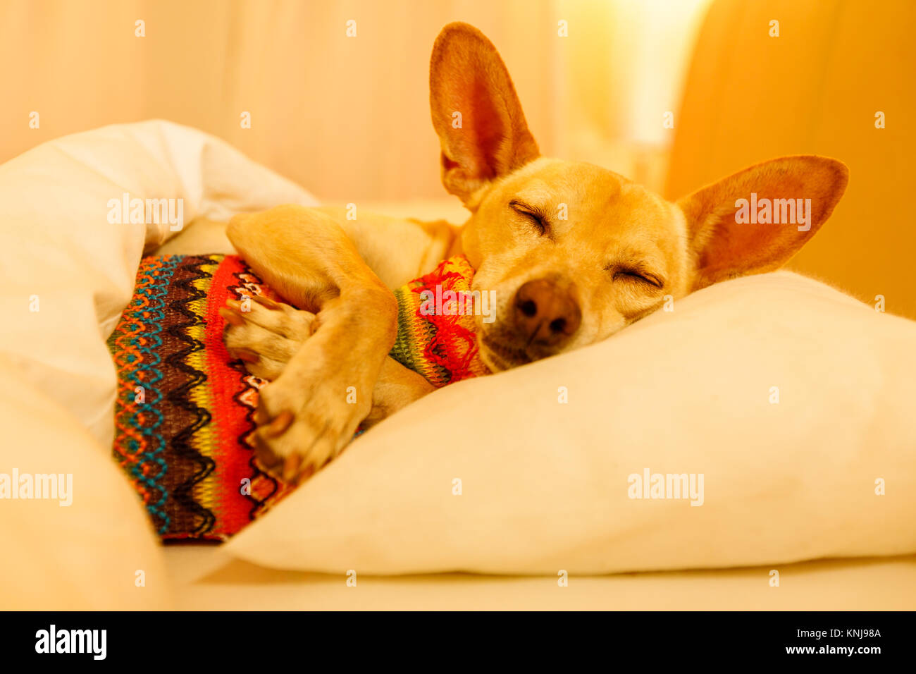 sick and ill chihuahua  dog resting  having  a siesta or sleeping  with hot water bottle Stock Photo