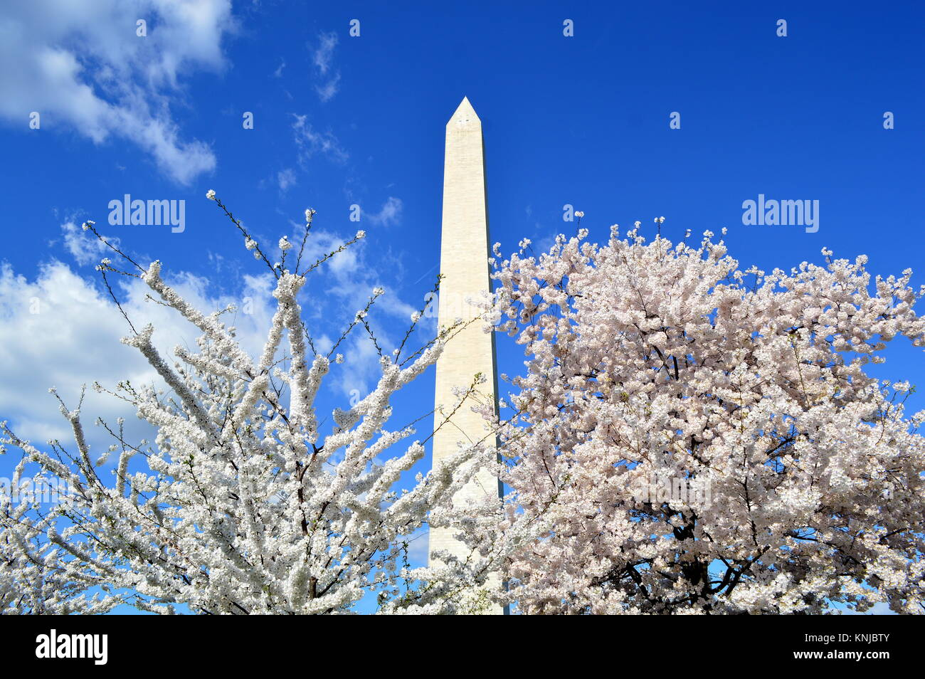Washignton DC, Columbia, USA - April 11, 2015: Washington Monument and cherry trees in bloom - Stock Image