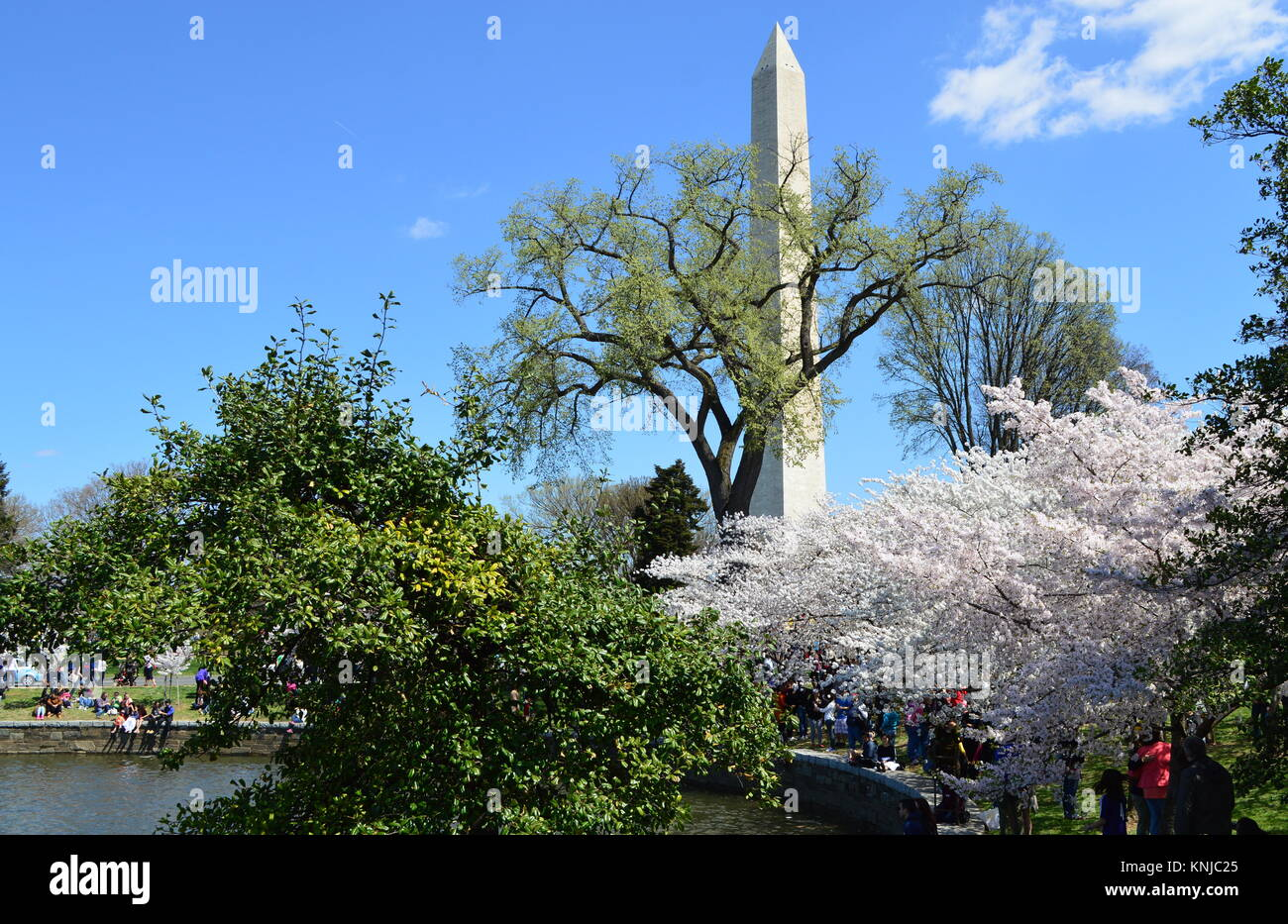 Washignton DC, Columbia, USA - April 11, 2015: The cherry trees in full bloom and the Washington Monument - Stock Image