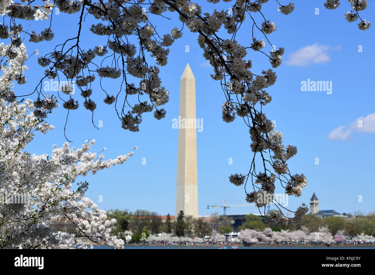 Washignton DC, Columbia, USA - April 11, 2015: view of Washington monument through cherry blossoms - Stock Image