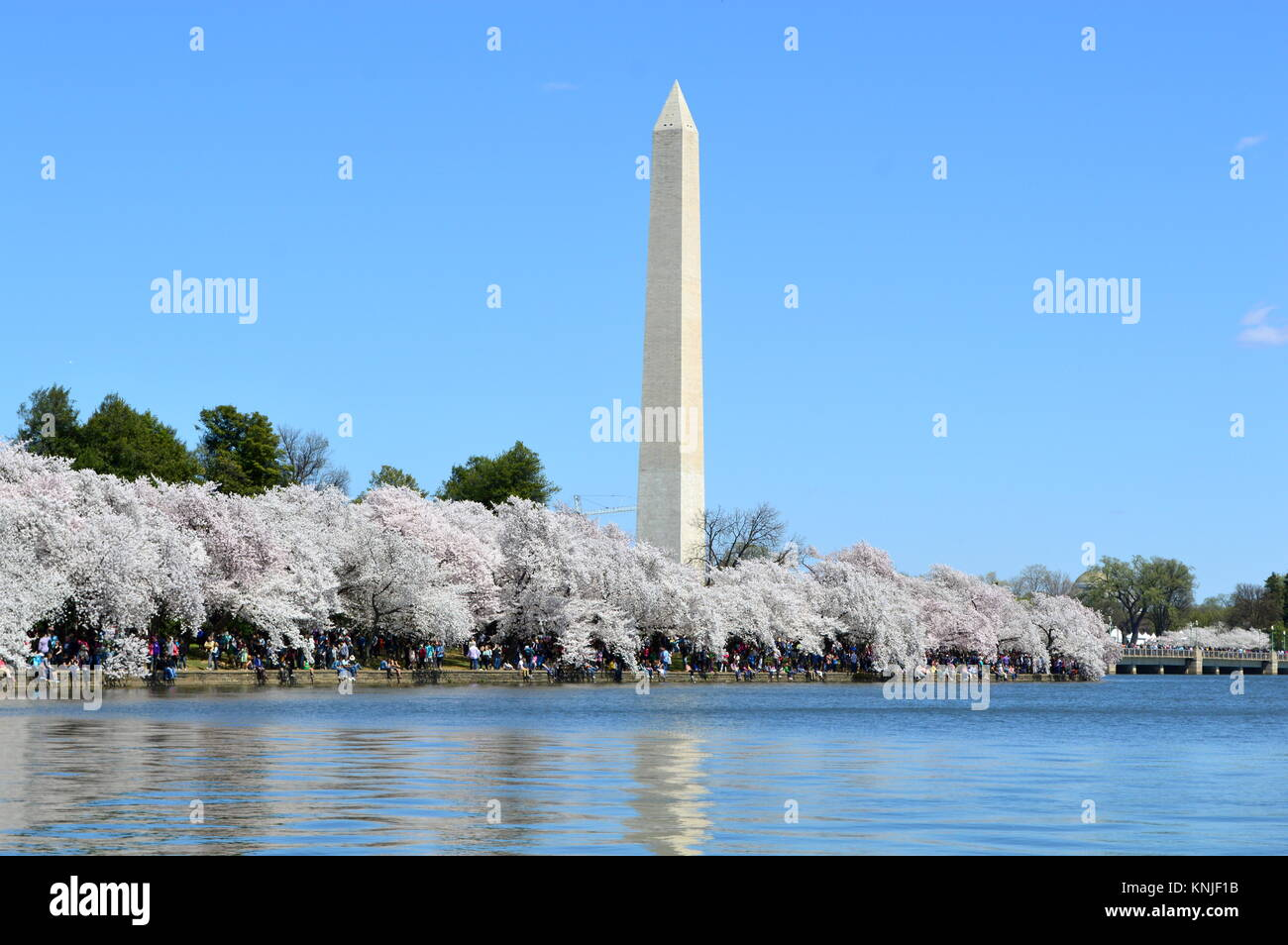Washington DC, Columbia, USA - April 11, 2015: Washington-DC-Monument-cherry-blossom - Stock Image