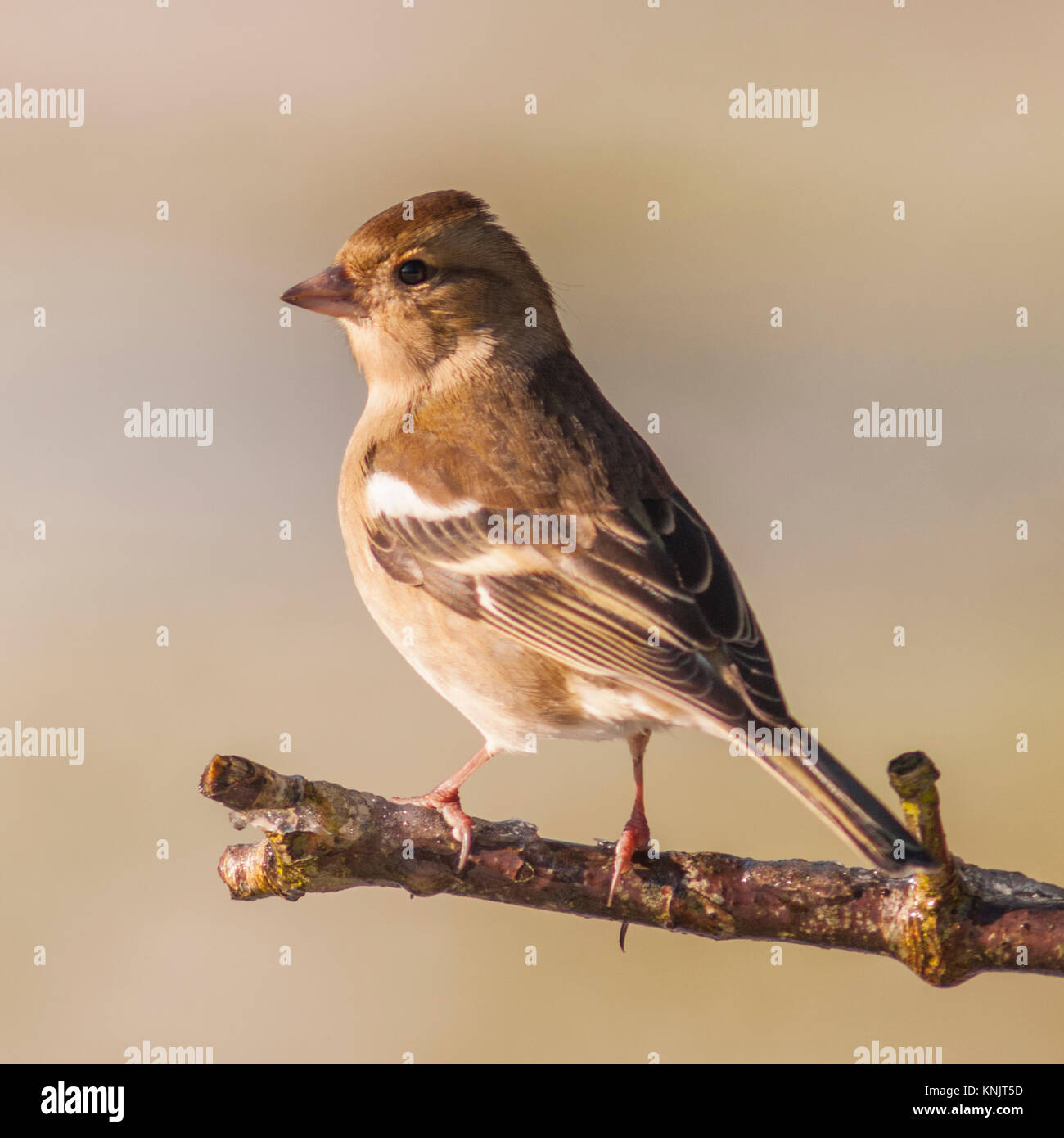 Norfolk, England, UK. 12th Dec, 2017. A Female Chaffinch (Fringilla coelebs) feeding in freezing conditions in a - Stock Image