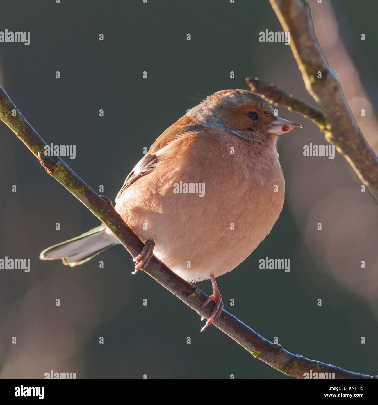 Norfolk, England, UK. 12th Dec, 2017. A Male Chaffinch (Fringilla coelebs) feeding in freezing conditions in a Norfolk - Stock Image
