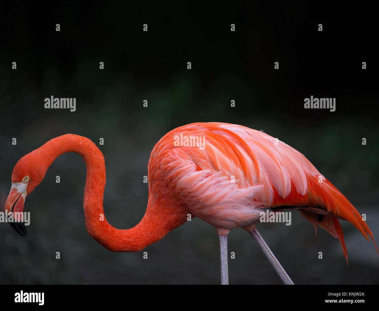 Miami, Forida, USA. 8th Dec, 2013. Flamingos range in color from light pink to bright red due to aqueous bacteria - Stock Image
