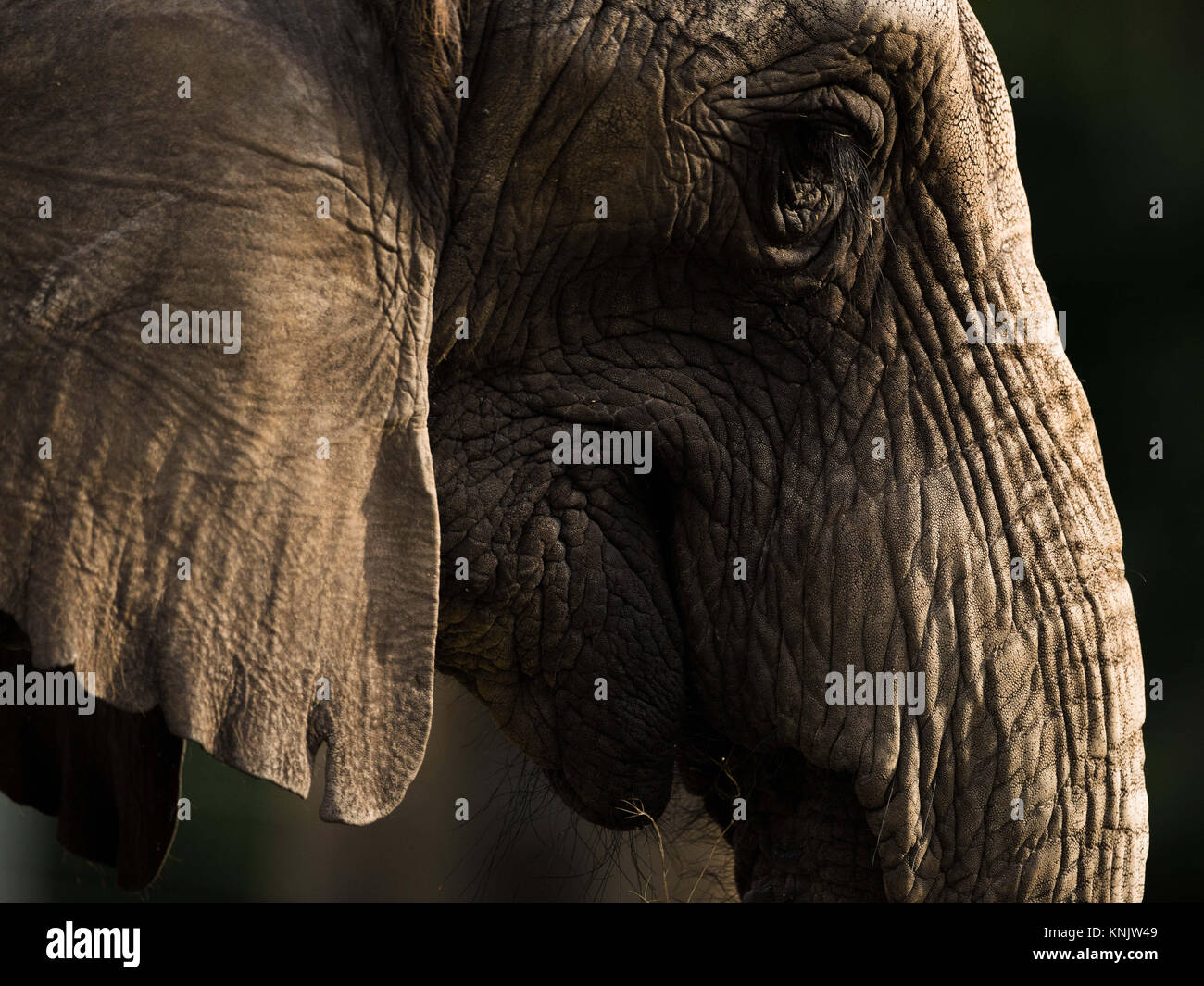 Miami, Forida, USA. 1st Dec, 2013. An African bush elephant. Elephants have several distinctive features, the most - Stock Image