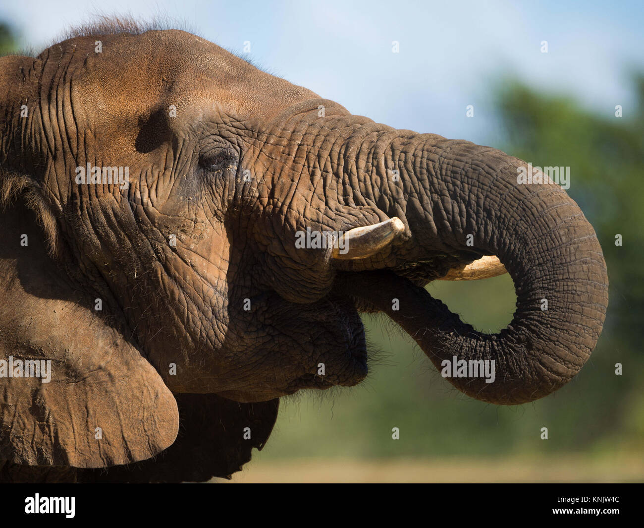 Miami, Forida, USA. 9th Dec, 2013. An African bush elephant. Elephants have several distinctive features, the most - Stock Image
