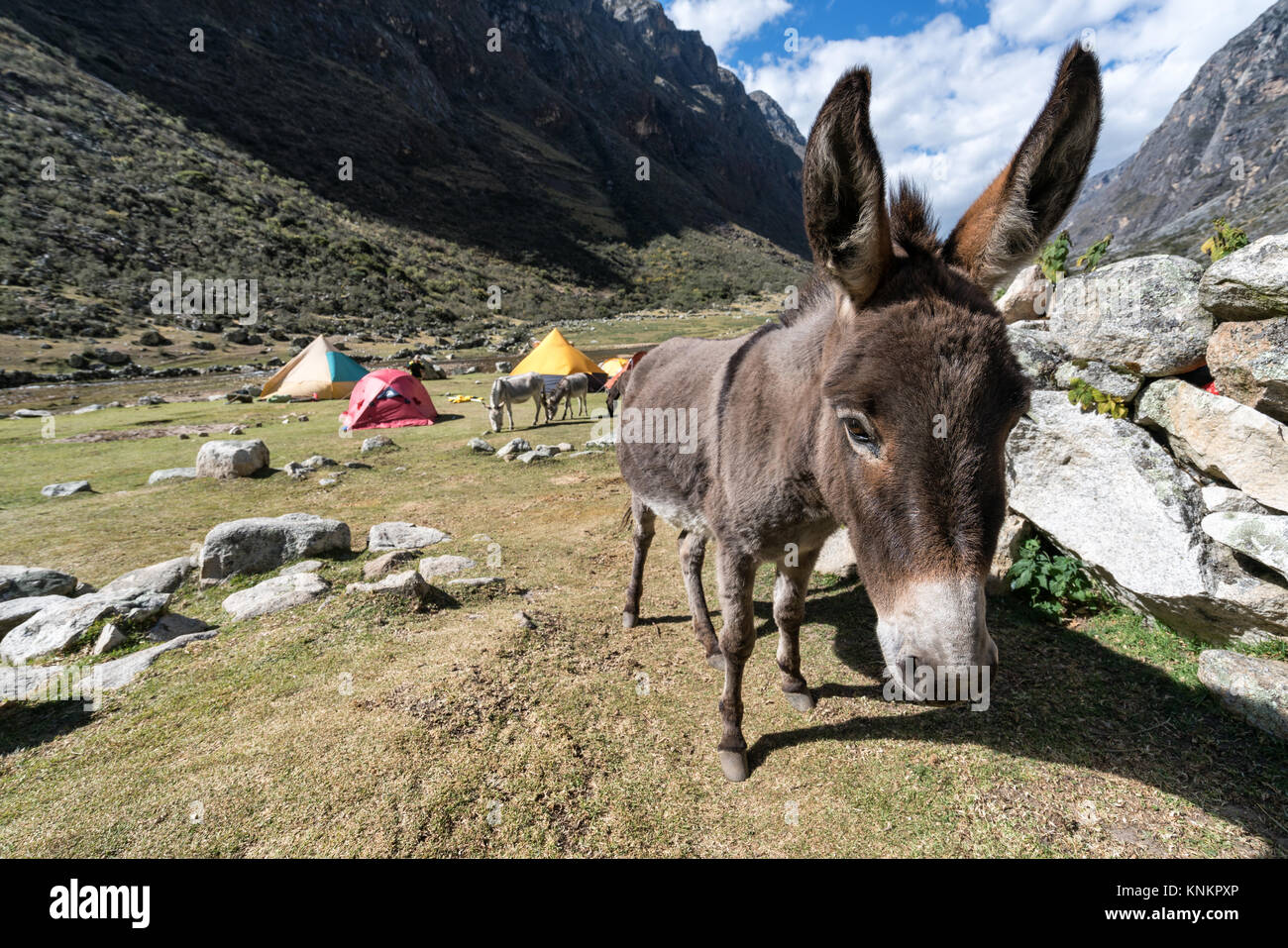 Curiour donkey at Santa Cruz valley, Cordillera Blanca, Peru - Stock Image