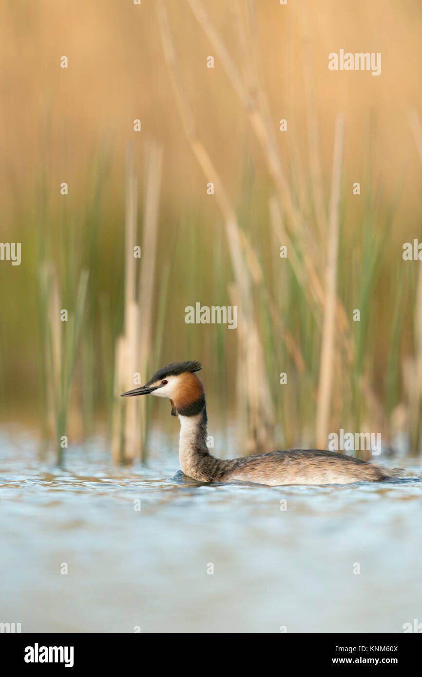 Great Crested Grebe / Haubentaucher ( Podiceps cristatus ) swimming in front of reeds, typical, characteristic surrounding, - Stock Image