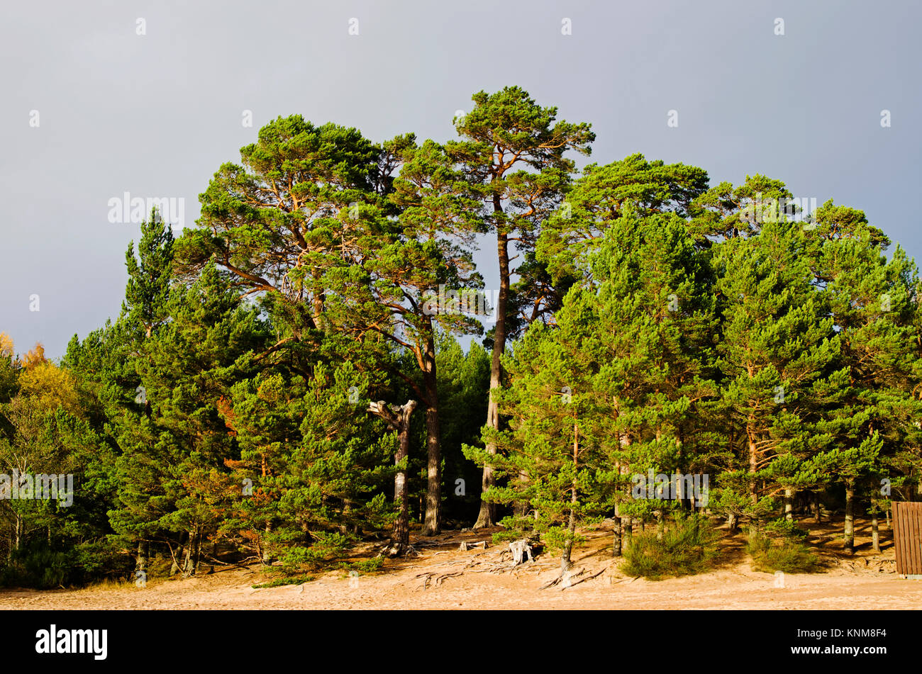 A stand of Scots Pines growing on the edge of the sandy beach at Loch Morlich, Cairngorms National Park near Aviemore, - Stock Image
