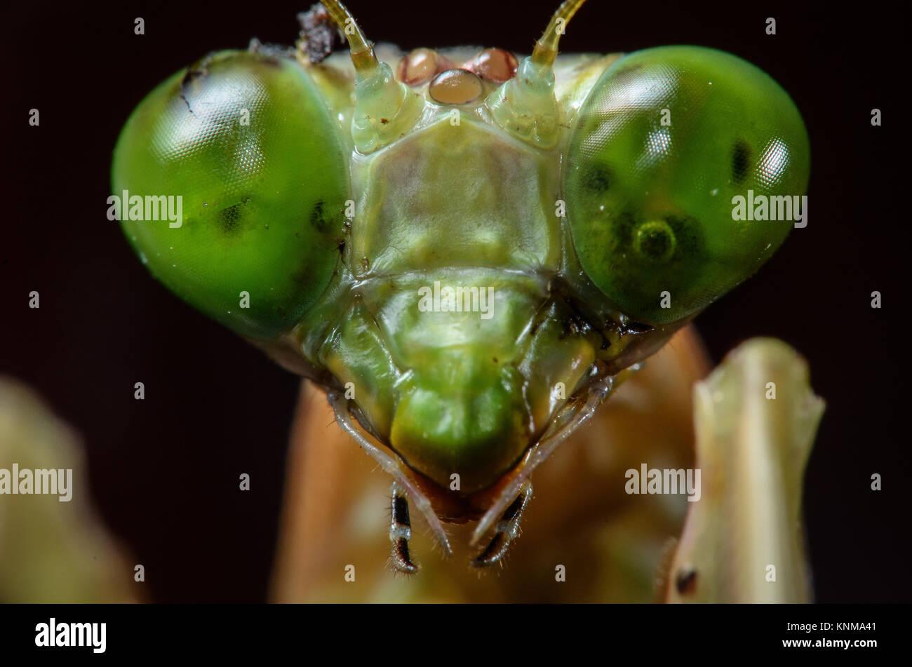 Green praying mantis in close up macro photo. - Stock Image
