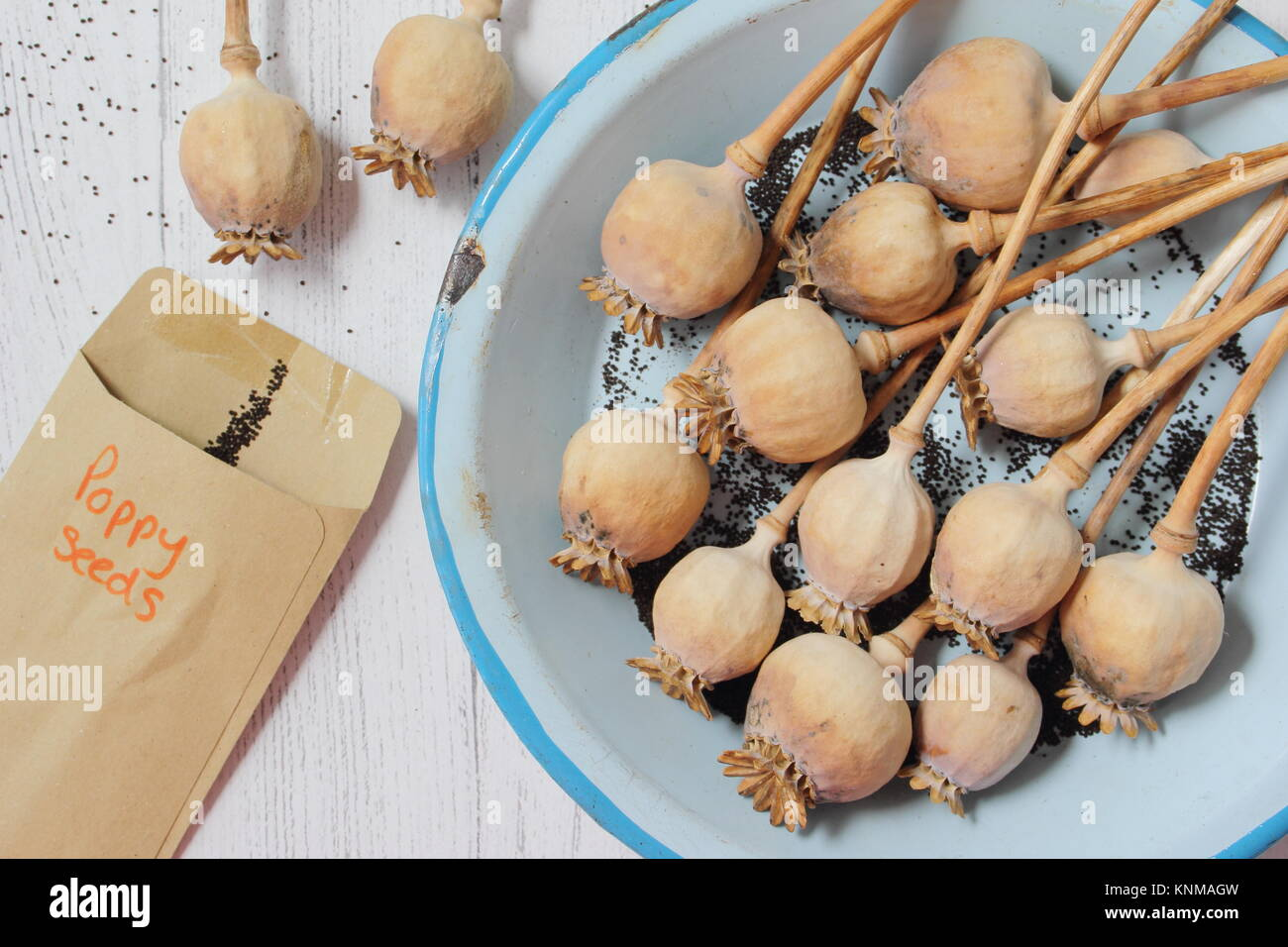 Collecting poppy seeds (Papaver somniferum), from dried seed heads for storage in envelopes during winter, UK - Stock Image