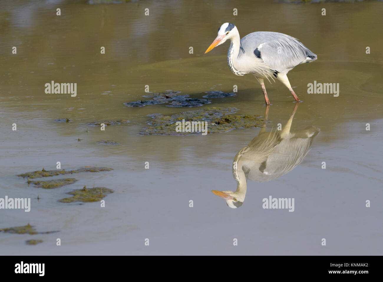 Grey heron (Ardea cinerea), foraging for food with reflection, Mountain Zebra National Park, South Africa - Stock Image