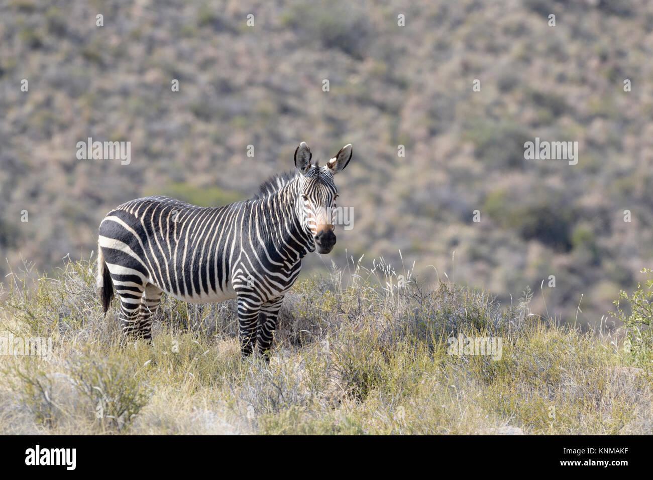 Mountain Zebra (Equus zebra) standing in grassland, Mountain Zebra National Park, South Africa Stock Photo