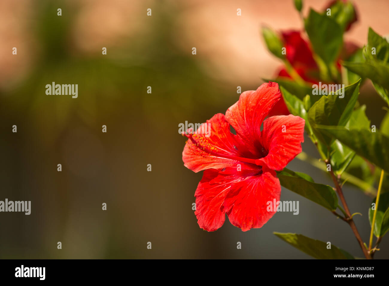 Red flower free arranged space for your message - Stock Image