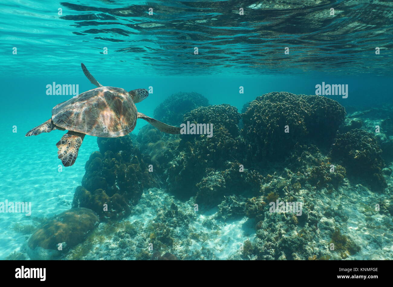 Underwater a green sea turtle Chelonia mydas over a coral reef, Caribbean sea - Stock Image