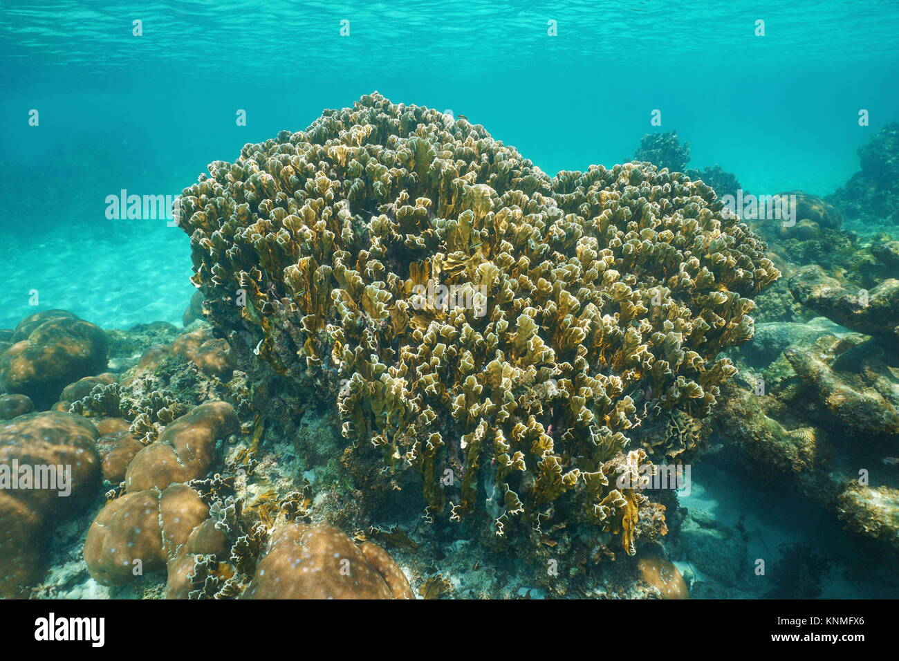 Reef with blade fire coral Millepora complanata underwater in the Caribbean sea - Stock Image