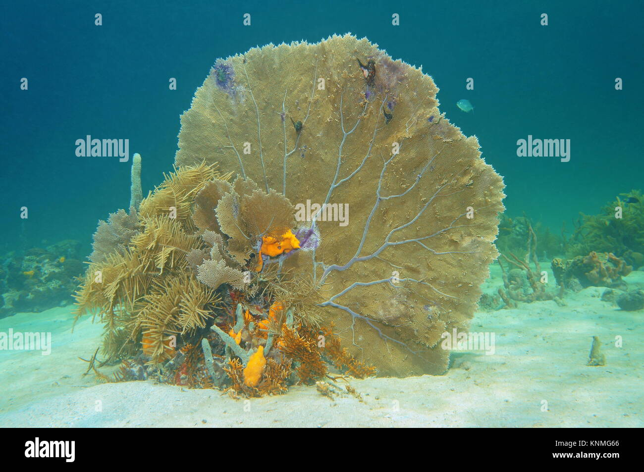 Soft coral venus fan, Gorgonia flabellum, underwater on a sandy seabed in the Caribbean sea, Cuba Stock Photo