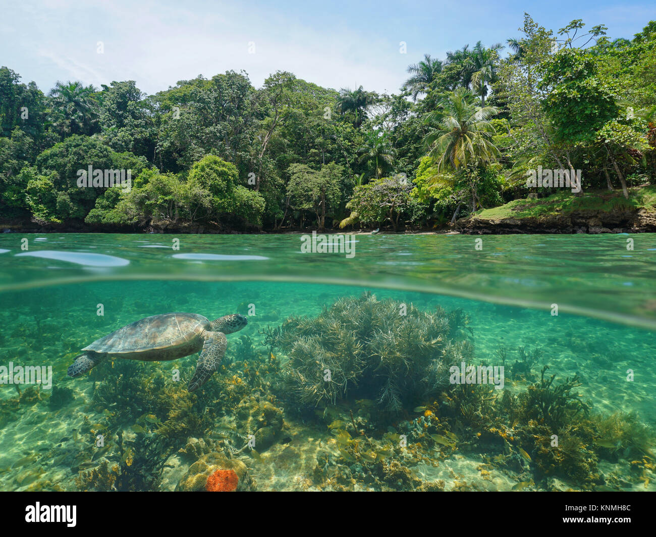 Over and under sea surface, lush tropical coast with coral and a green sea turtle underwater, Caribbean sea, Central - Stock Image