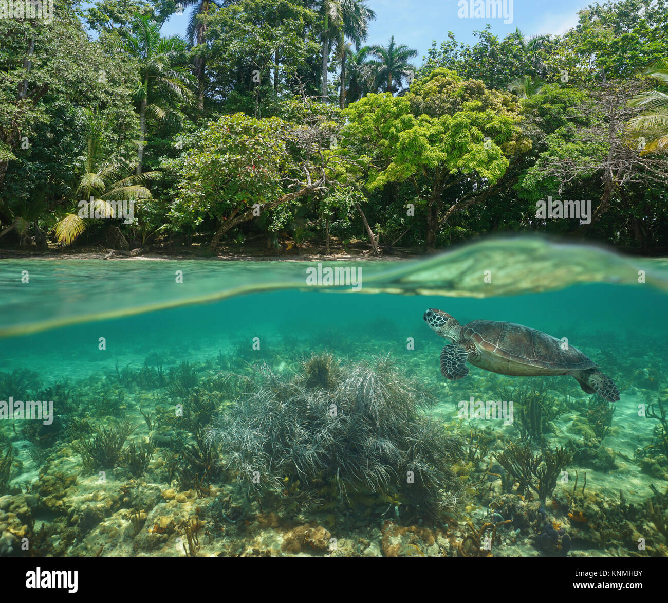 Wild tropical shore over and under water surface with a green sea turtle and soft coral underwater, Caribbean sea - Stock Image