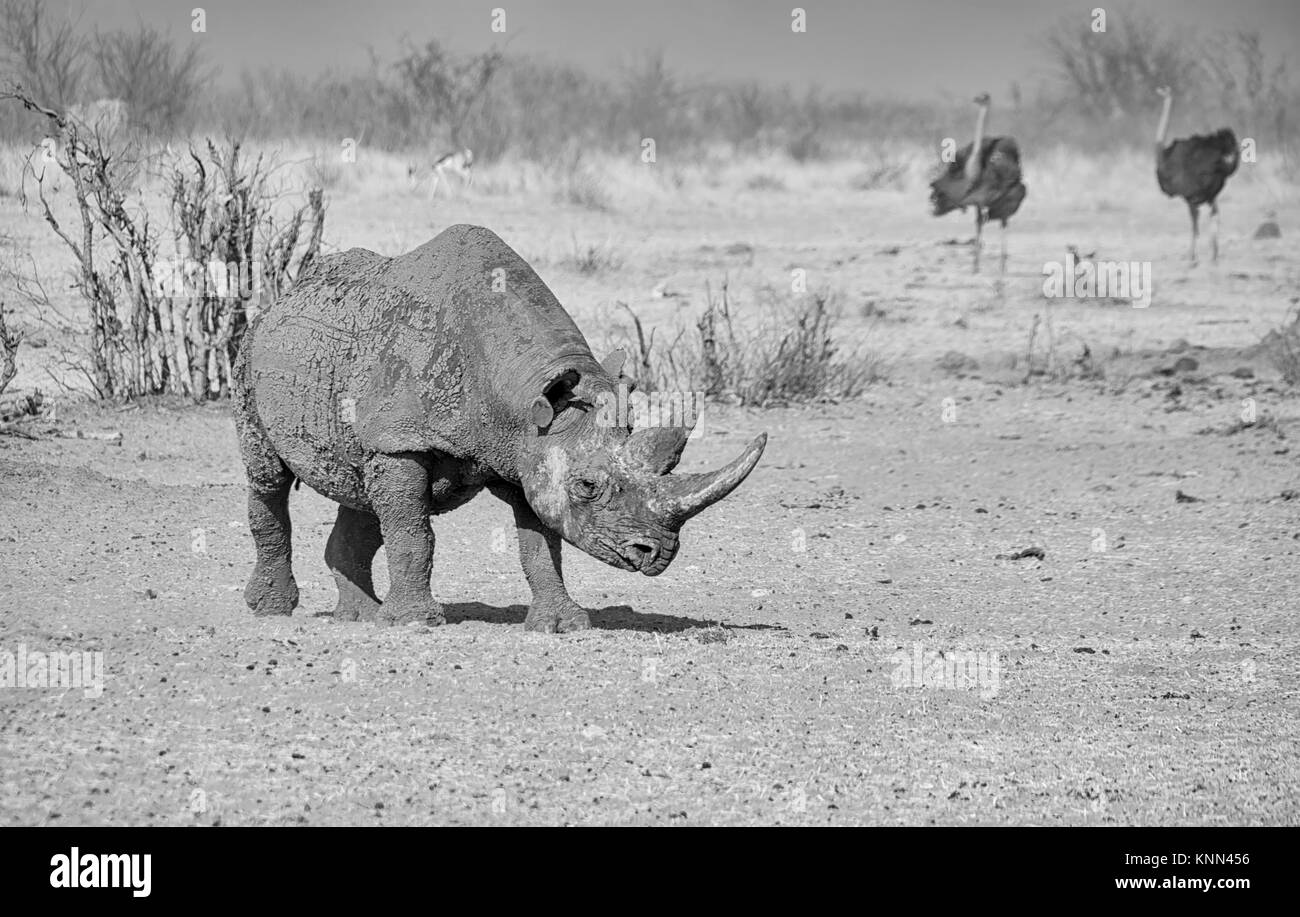 A solitary Black Rhino in Namibian savanna - Stock Image