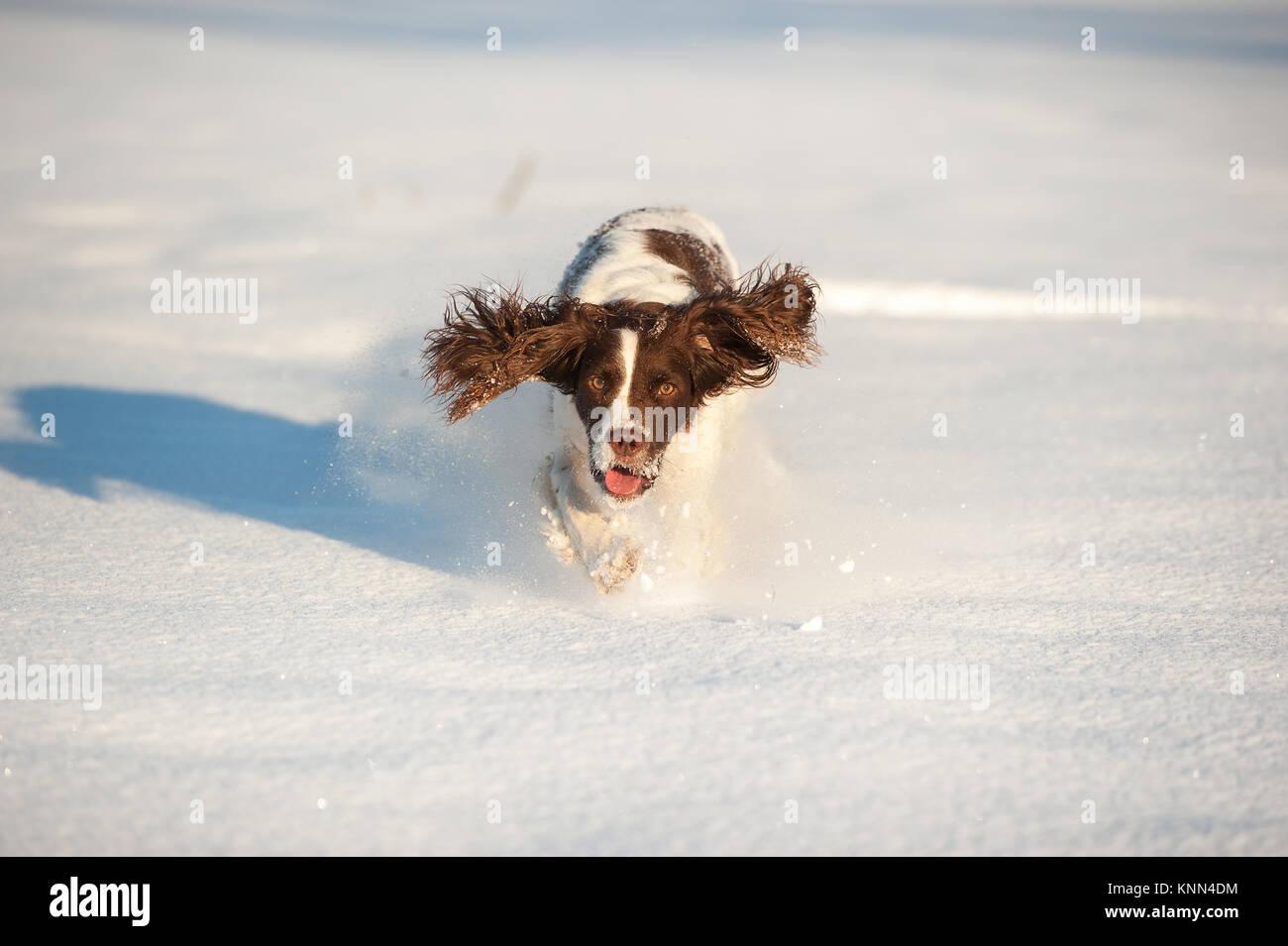 Springer Spaniel in the Snow - Stock Image