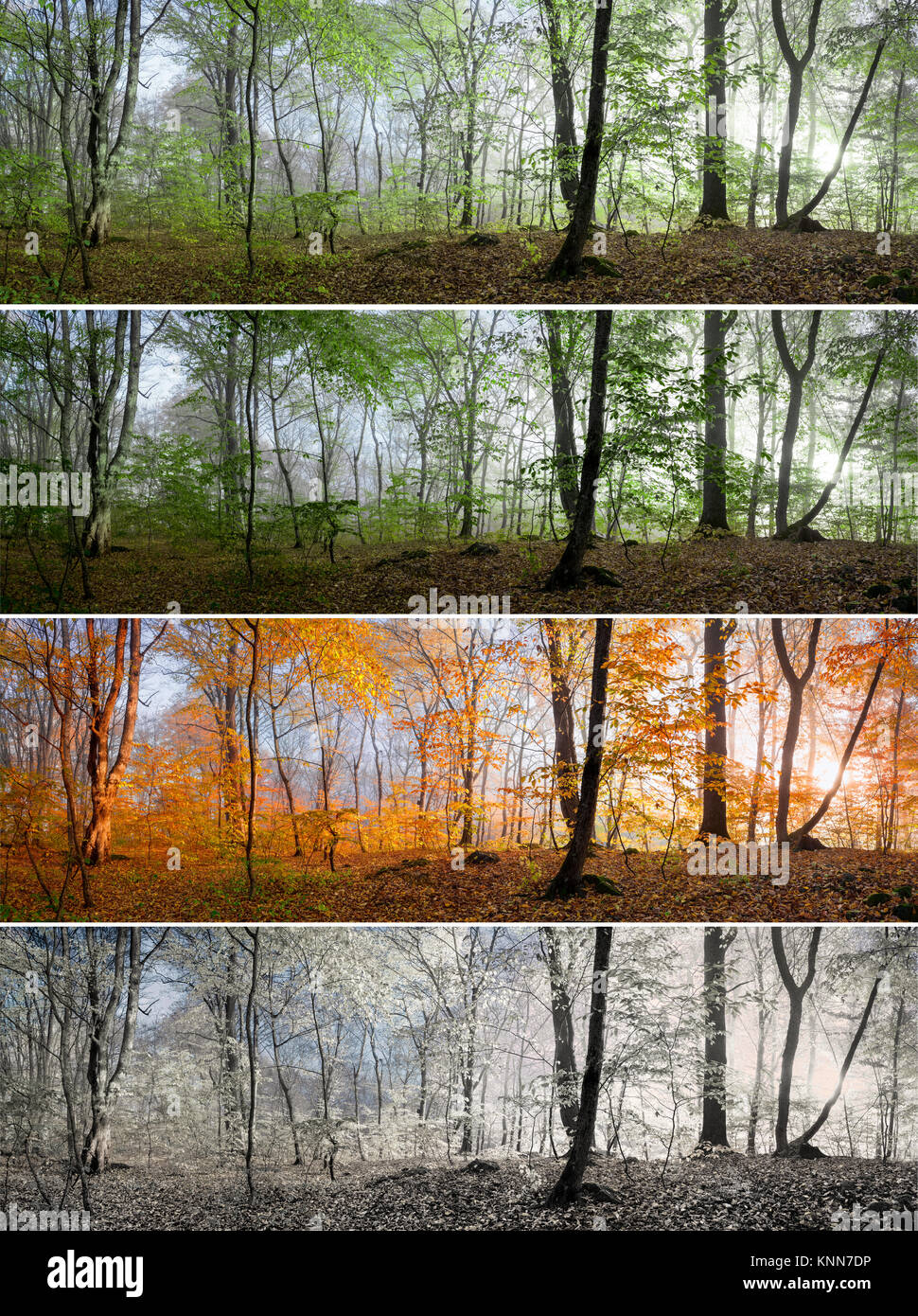 Change of four seasons in the forest panorama, spring, summer, autumn, winter - Stock Image