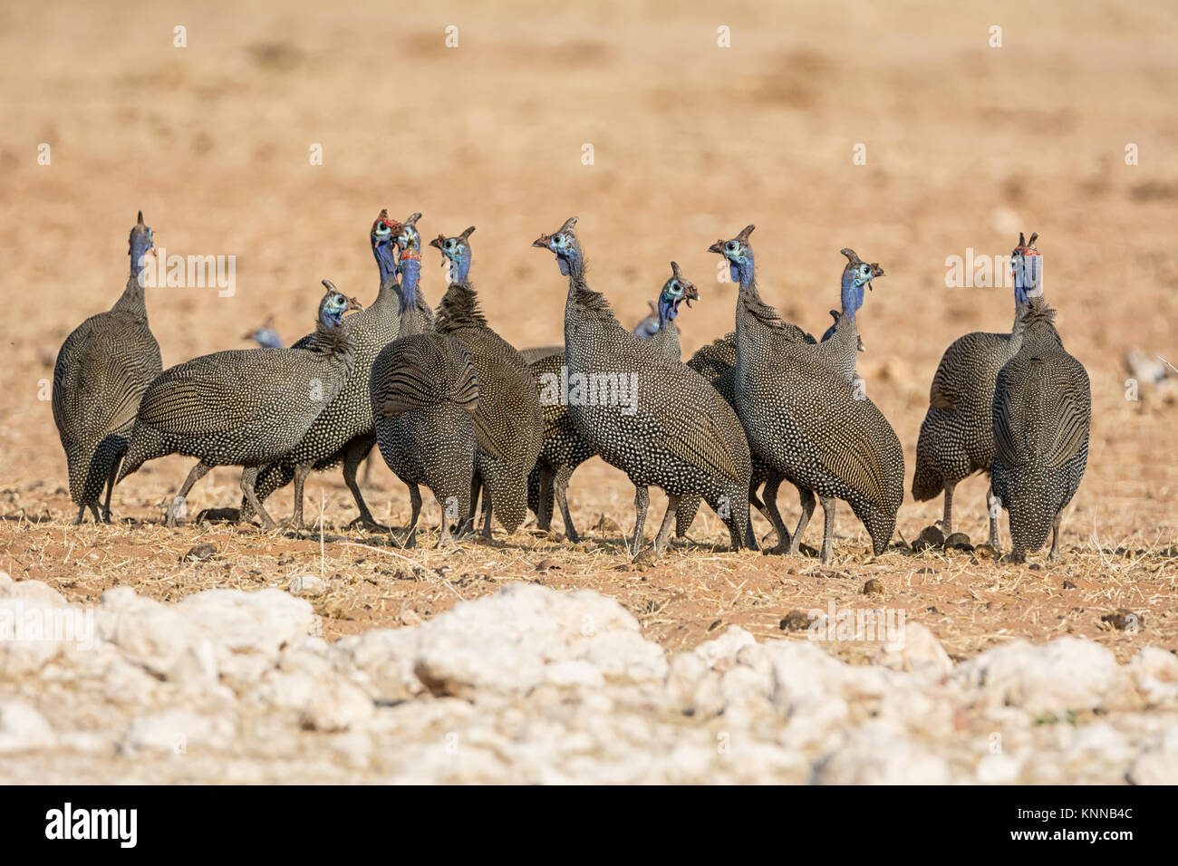 A flock of Helmeted Guineafowl in Namibian savanna - Stock Image