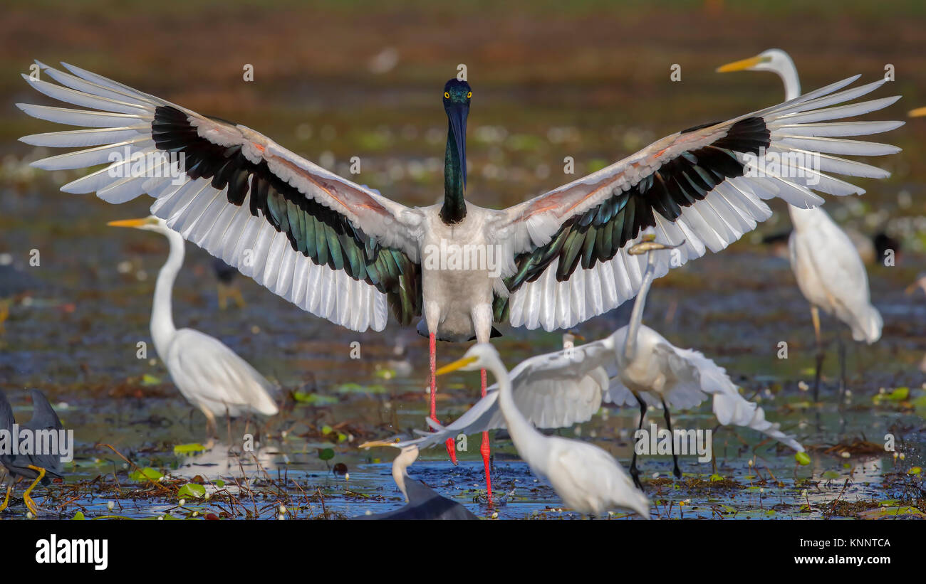 Intimidation by a Black-necked Stork (Ephippiorhynchus asiaticus) - Stock Image