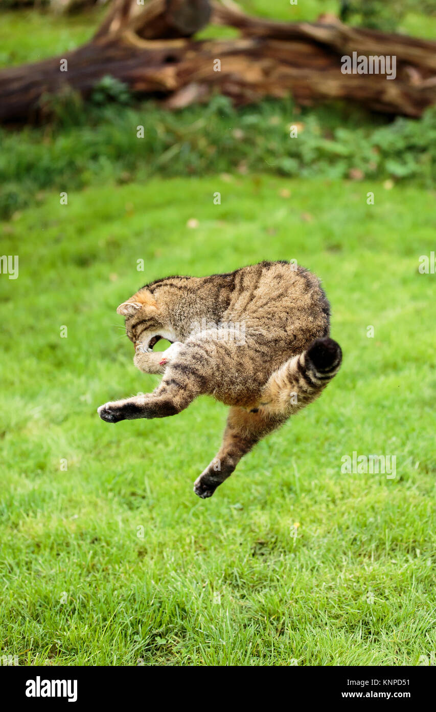 A Scottish wildcat leaping to catch a bird - Stock Image