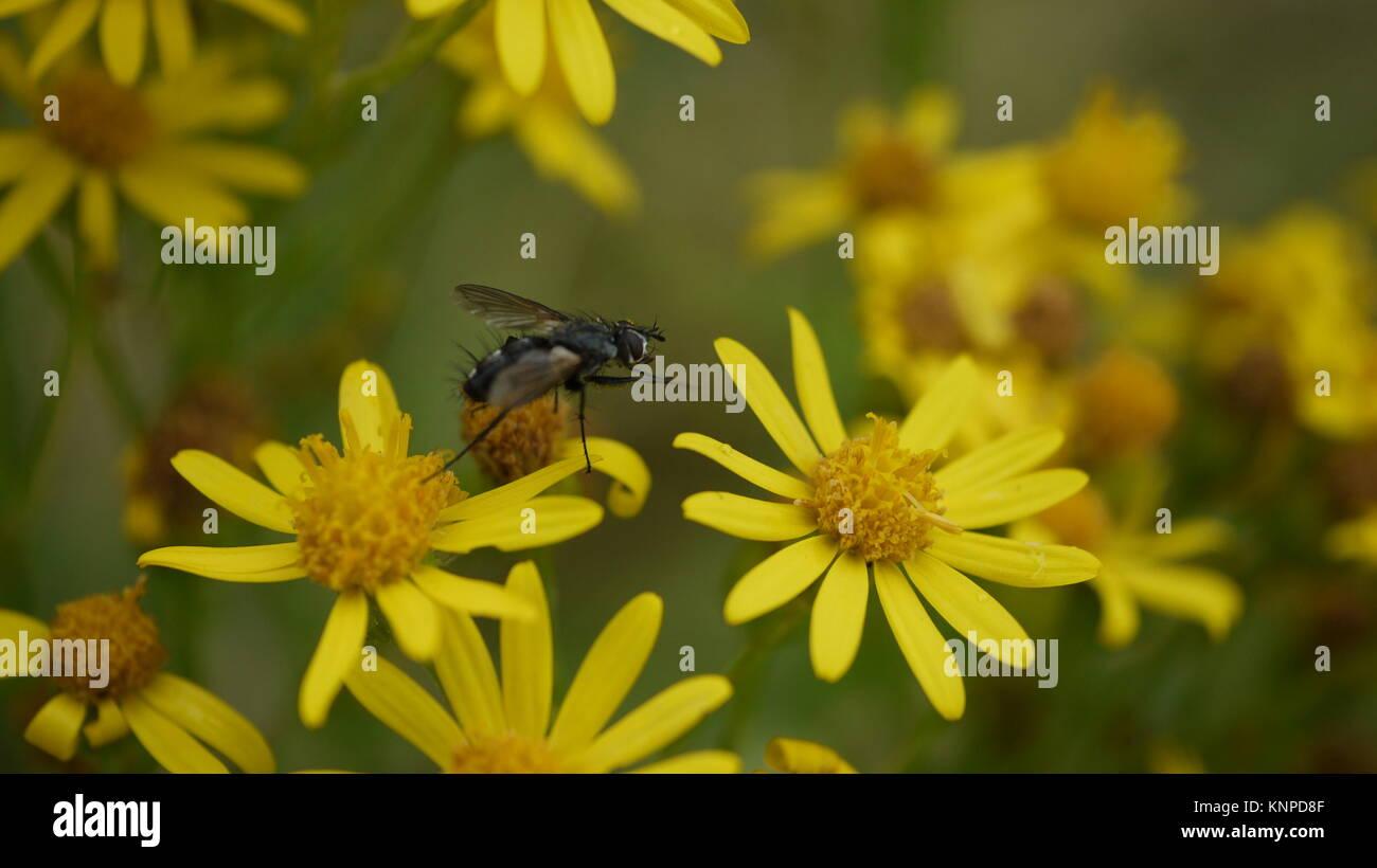 Ecology and Management of Tansy Ragwort (Senecio jacobaea L.)