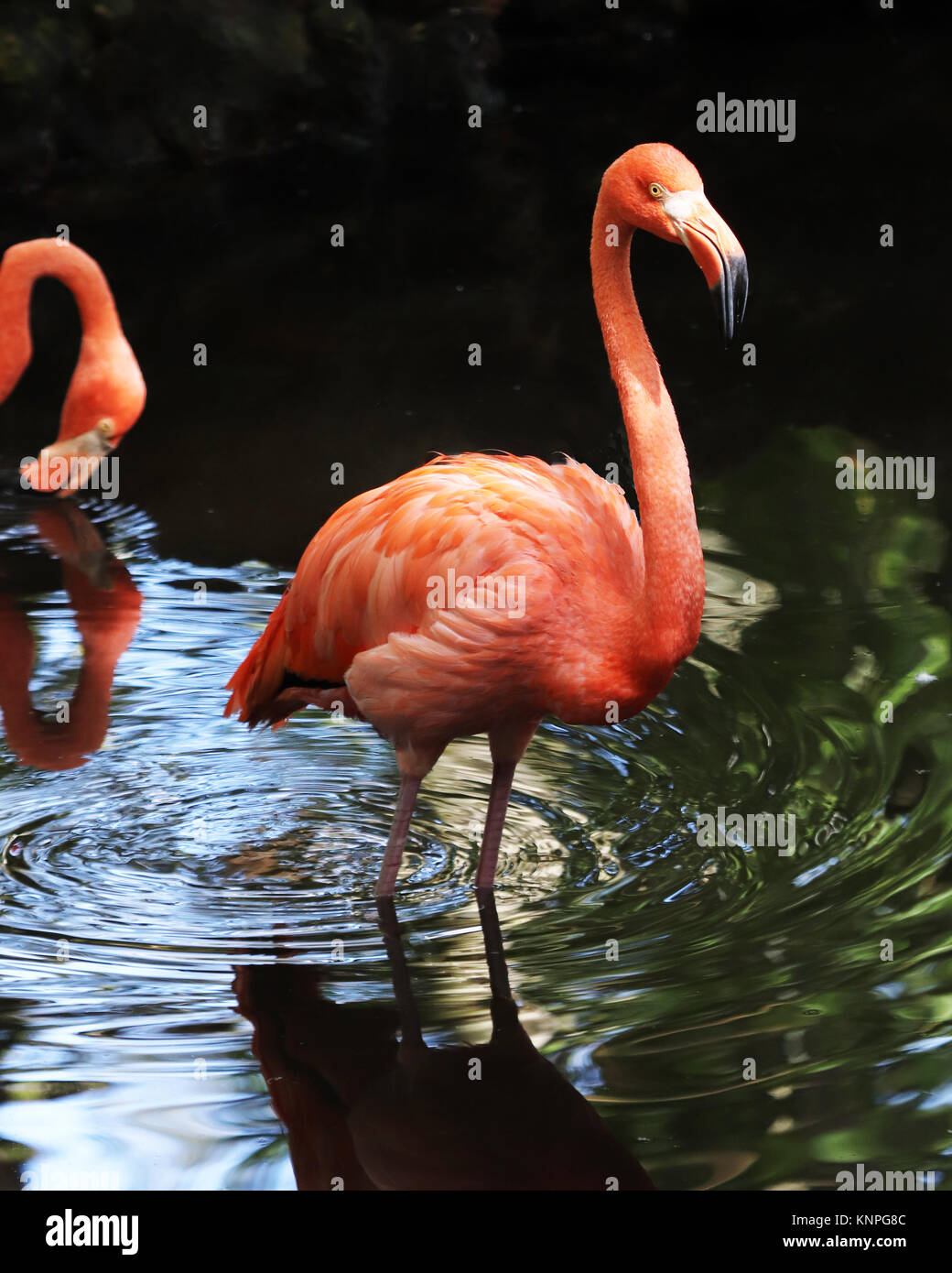 The bright pink feathers on the flamingo makes this water bird unable to be mistaken for any other bird - Stock Image