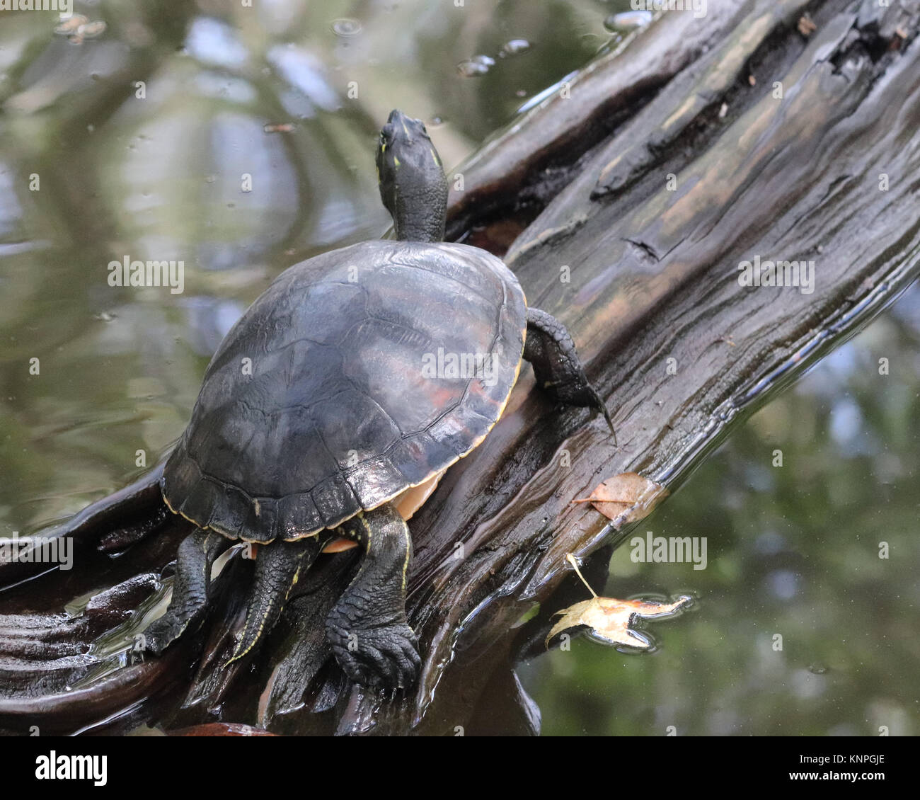 Yellow-bellied slider turtle climbing up a log tail out Stock Photo
