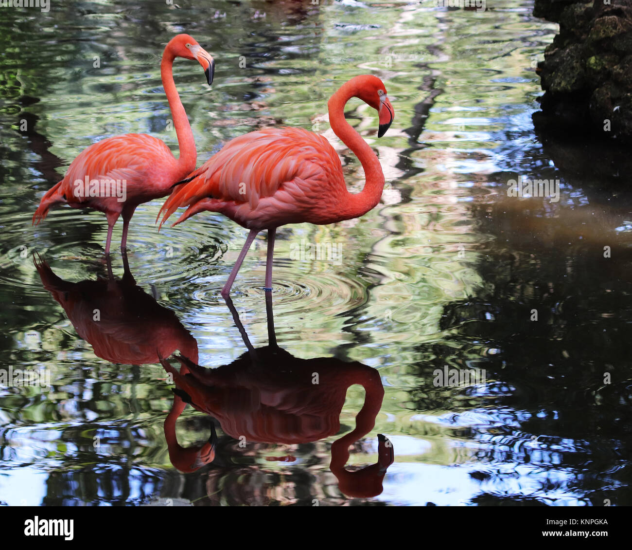 When a flamingo looks for it's favorite foods which include shrimp, snails, and plantlike water organisms called - Stock Image
