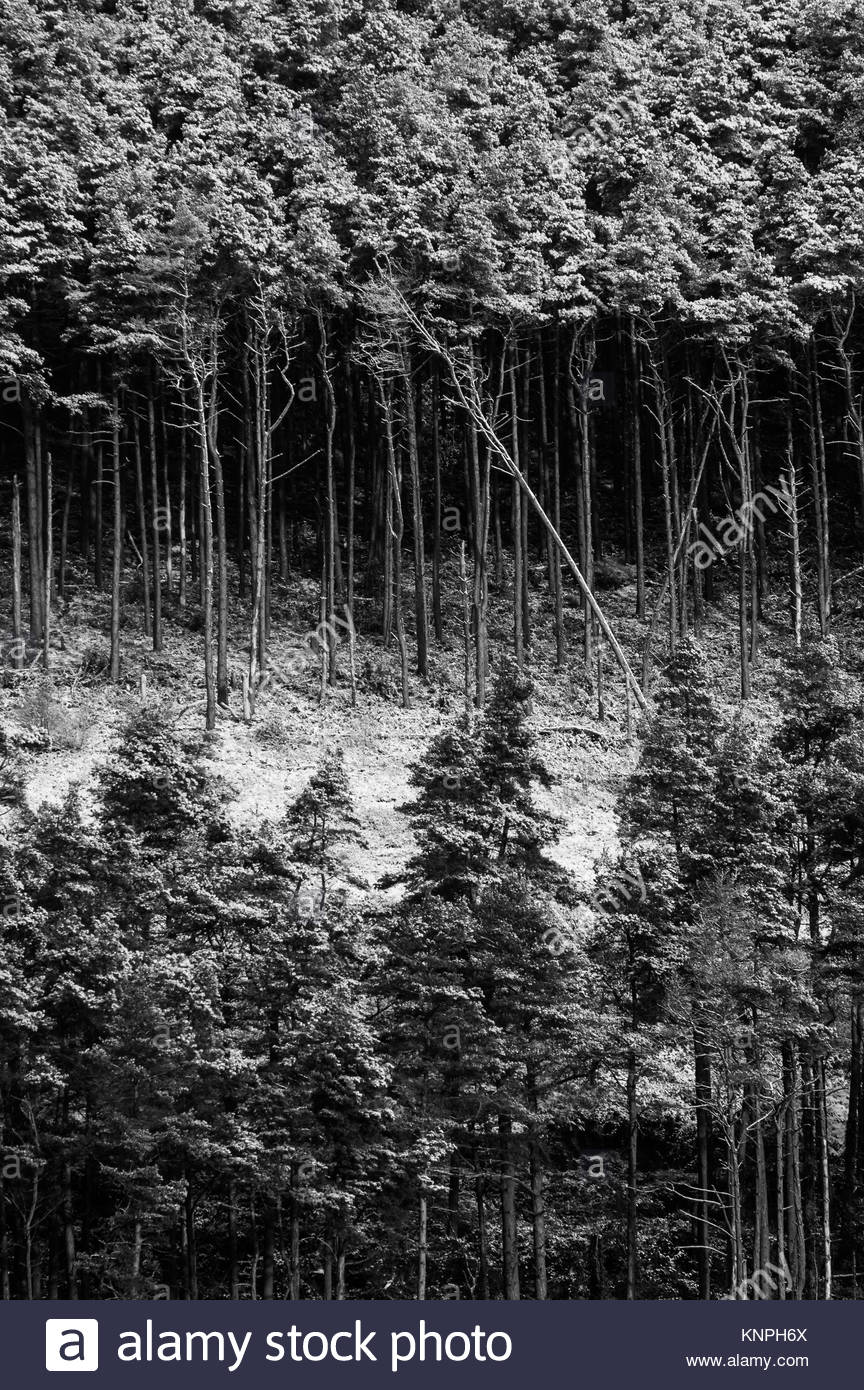 A monochrome graphical image of a forest within the Brecon Beacons National Park covered in snow with a single tree - Stock Image