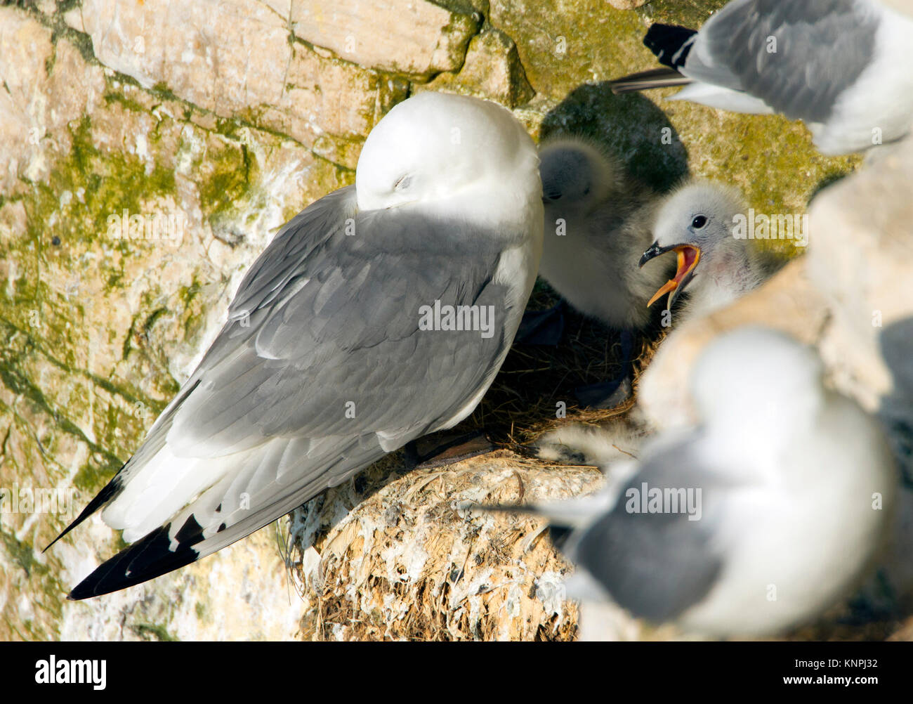 Kittiwake (Rissa tridactyla) with chicks in the nest. now listed as Vulnerable on the IUCN Red List © Ben Andrew - Stock Image