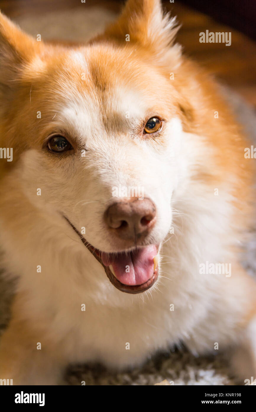 Beautiful Orange White Furry Dog Indoor Housepet Portrait Warmth Sunlight Open Closed Eyes Happy Laying Sitting - Stock Image