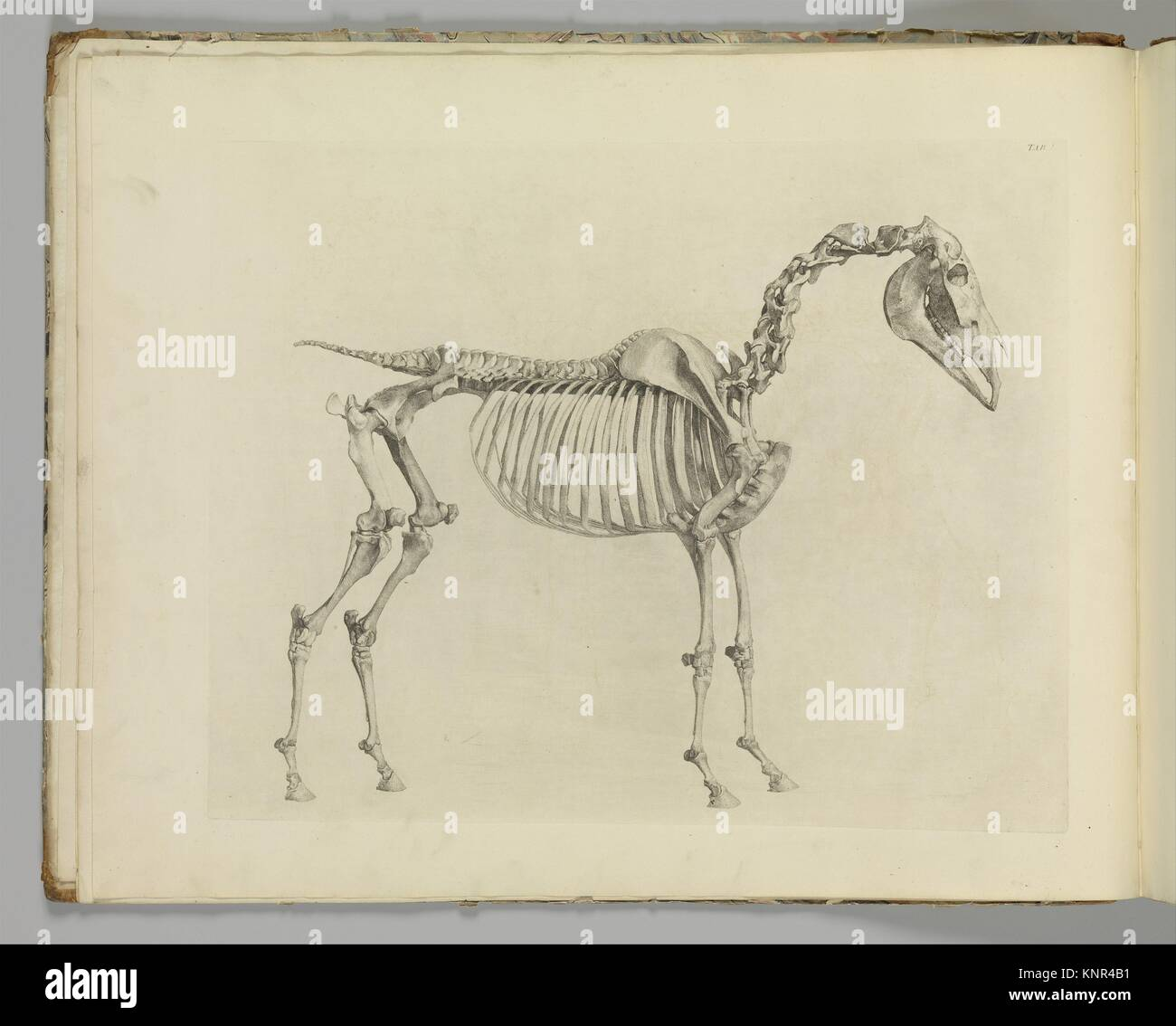 The Anatomy of the Horse, including a particular description of the bones, cartilages, muscles, fascias, ligaments, - Stock Image