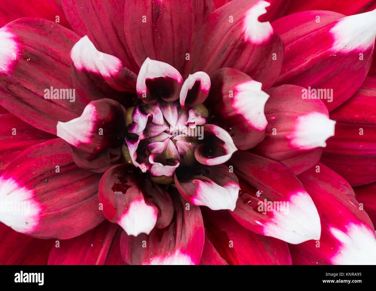 A macro shot of a dahlia duet bloom. - Stock Image