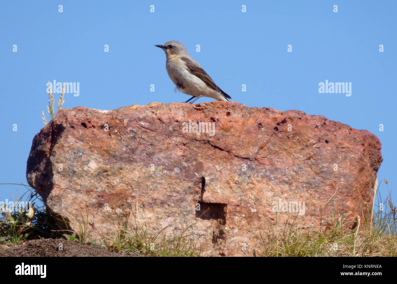 Female Northern Wheatear ( Oenanthe oenanthe ) in Spring Plummage, UK Stock Photo