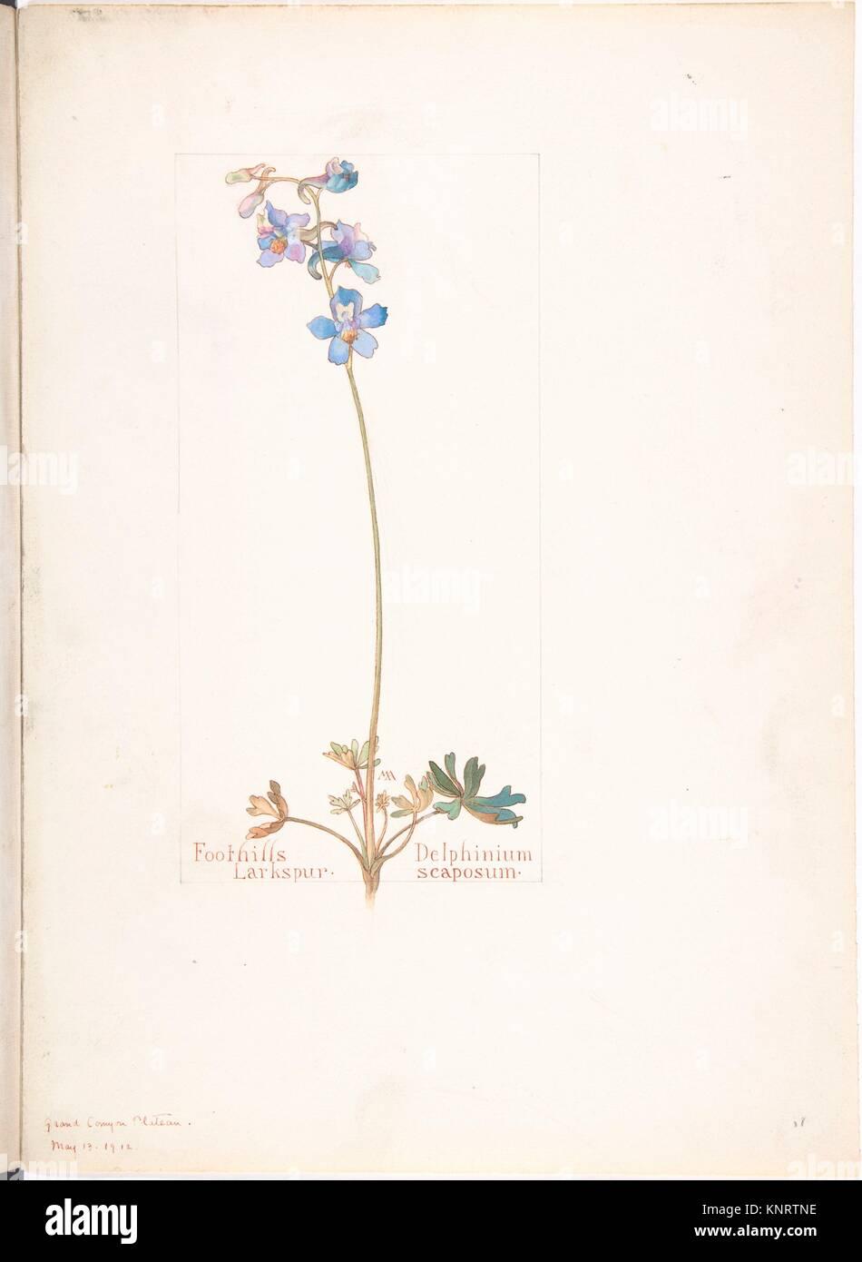 Foothills Larkspur, Delphinium scaposum. Artist: Margaret Neilson Armstrong (American, New York 1867-1944 New York); - Stock Image