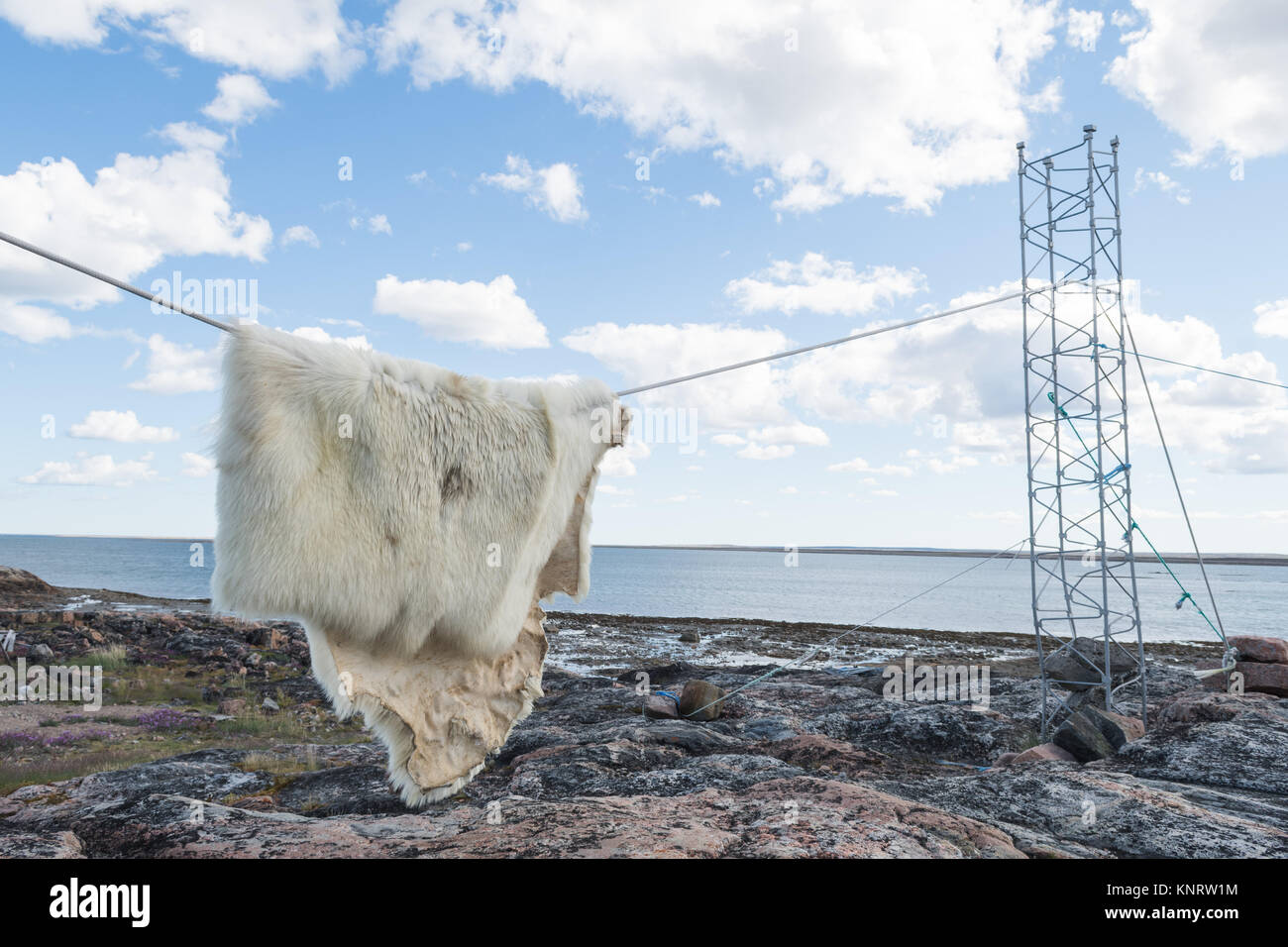 Polar bear skin hanging on clothesline ourdoors - Stock Image